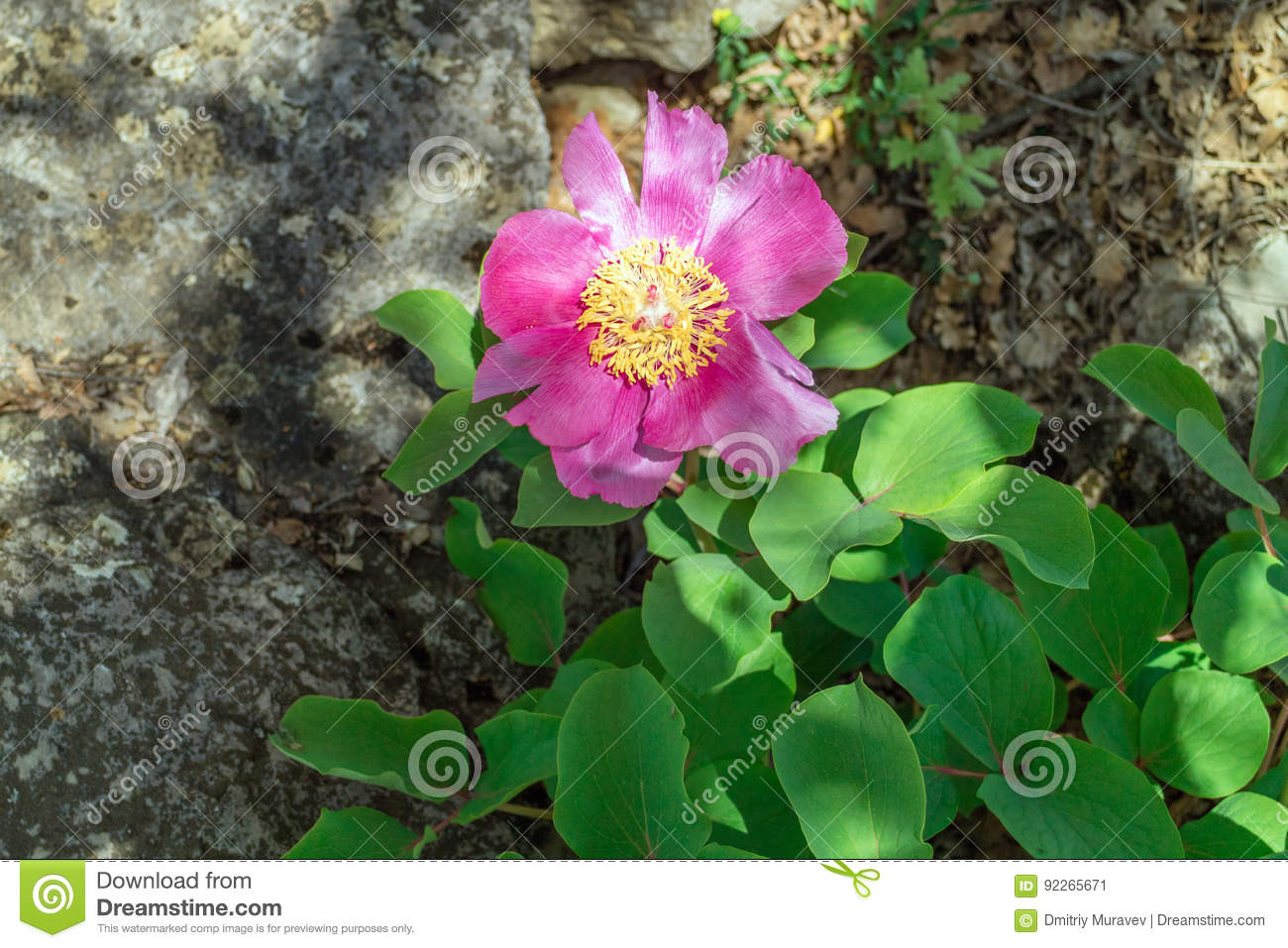 Peony Crimean Beautiful Rare Flower Stock Image Image Of Floral