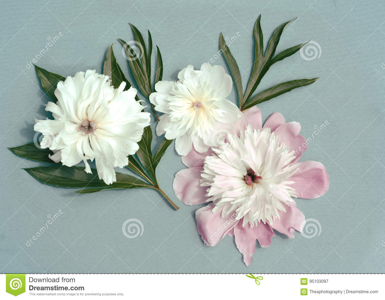 Peony Flowers Stock Image Image Of Floral Mother Birthday 95103097