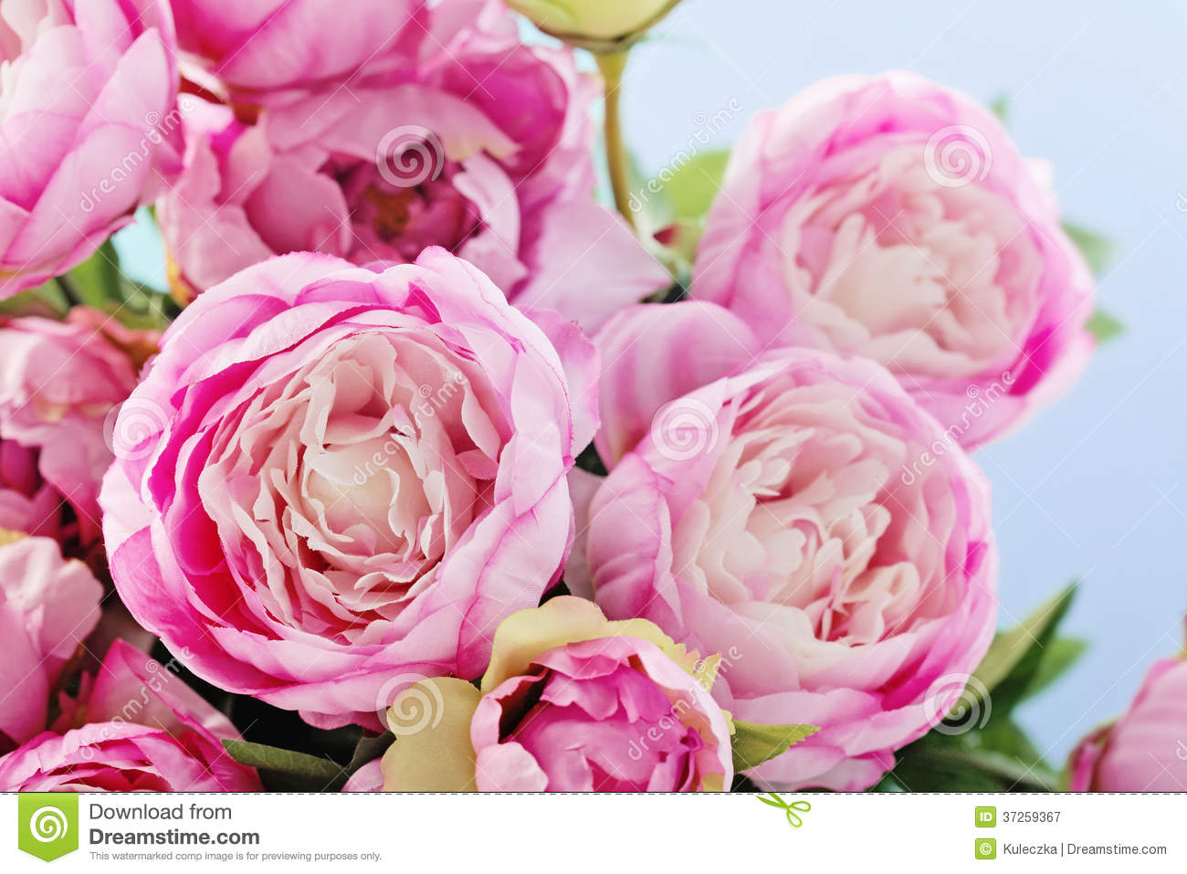 peony flowers stock image image of pink background 37259367