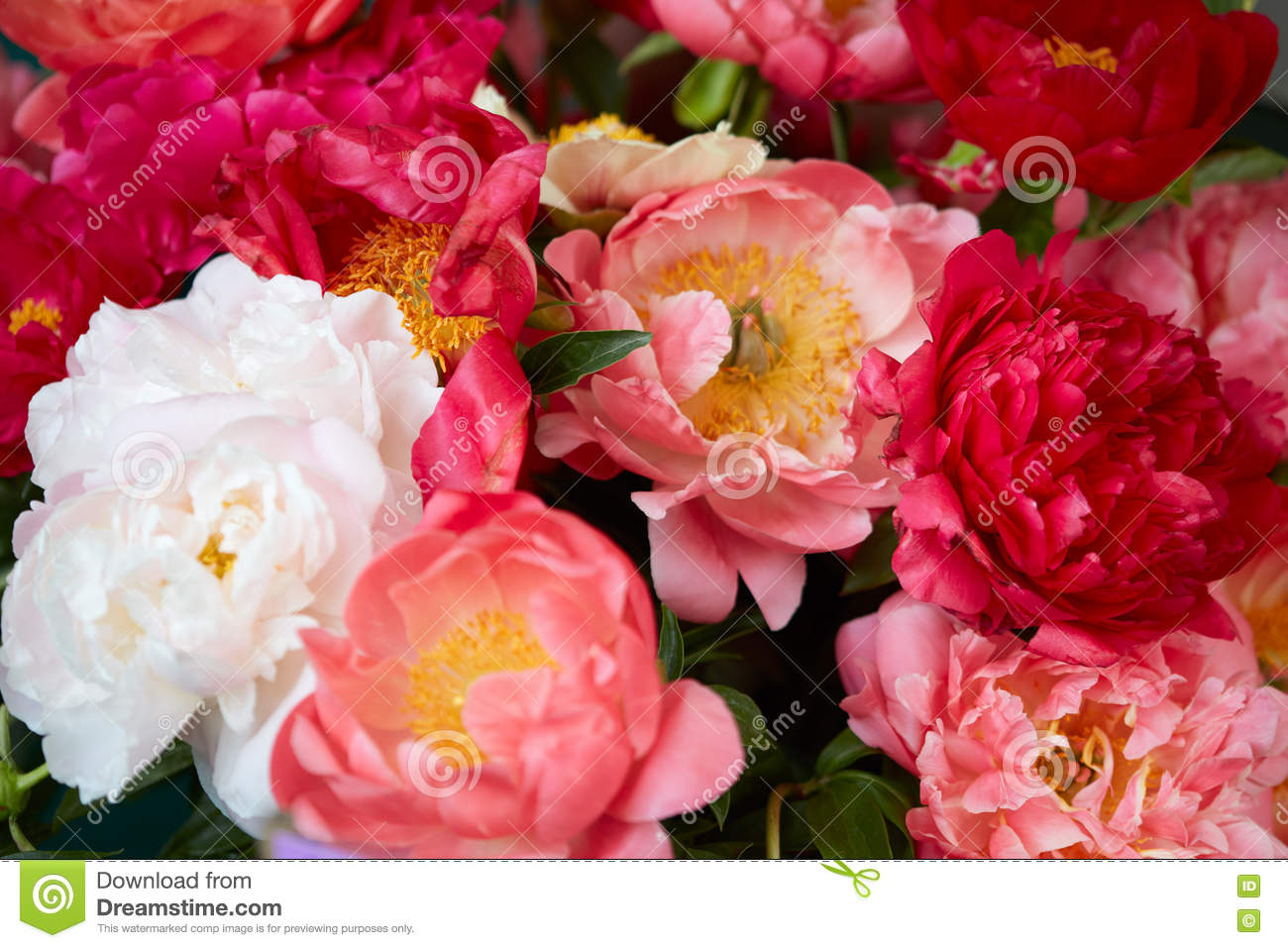 Peony Flowers In Red, Colors Background Stock Image - Image of ...