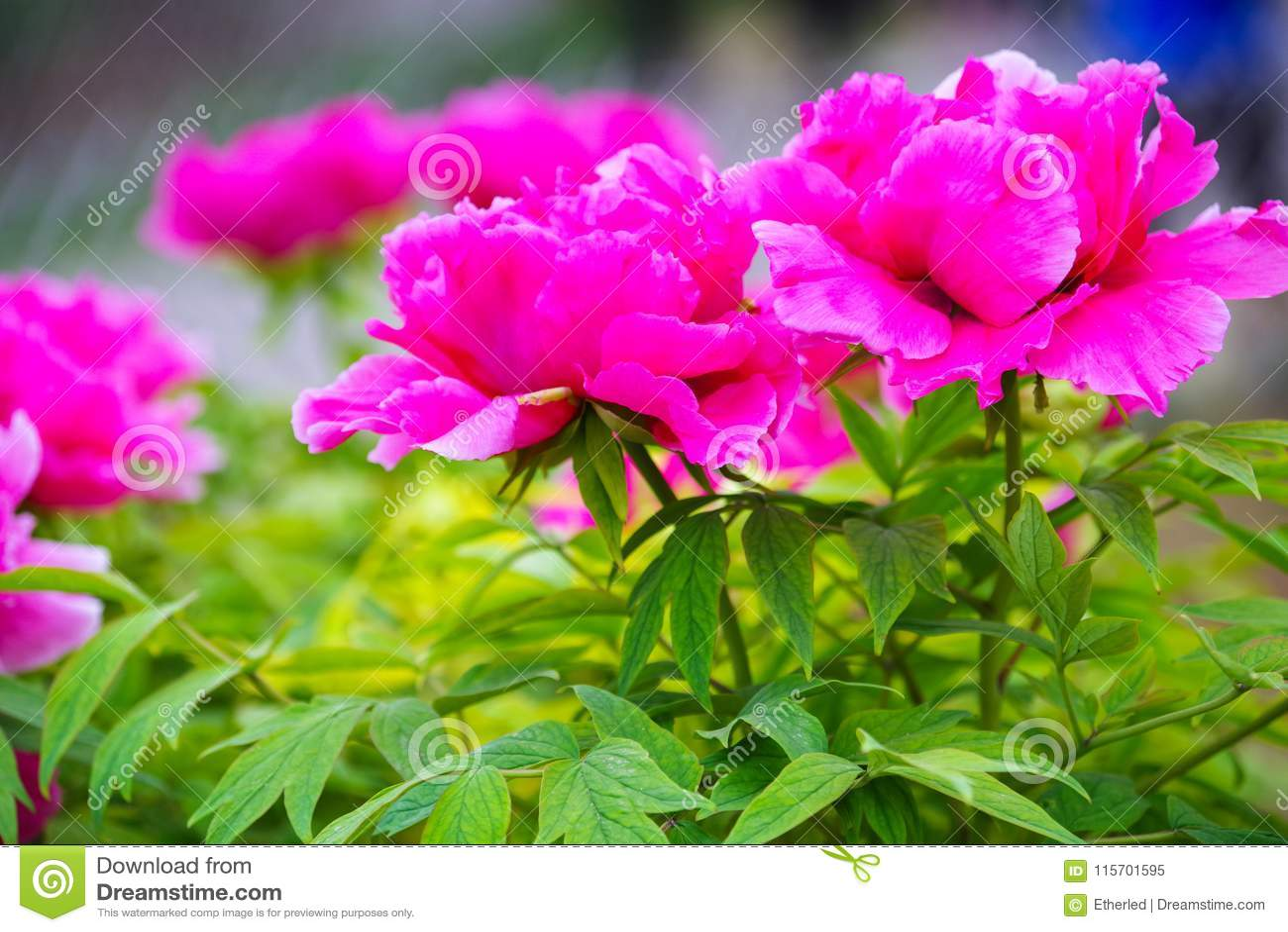 Pink Peony Chinese National Flower Stock Image Image Of China