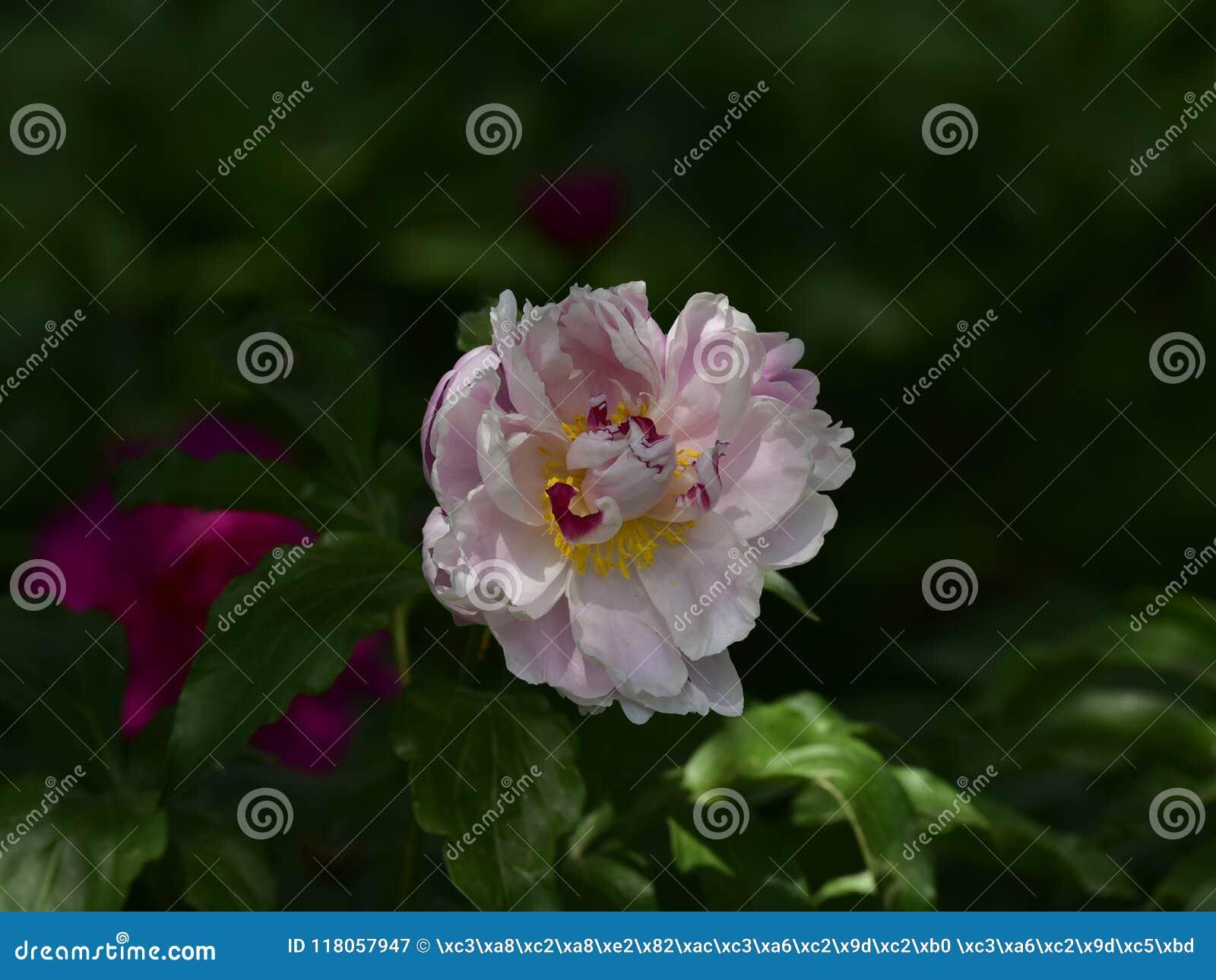 Paeonia Lactiflora Scientific Name Paeonia Lactiflora Pall Prime