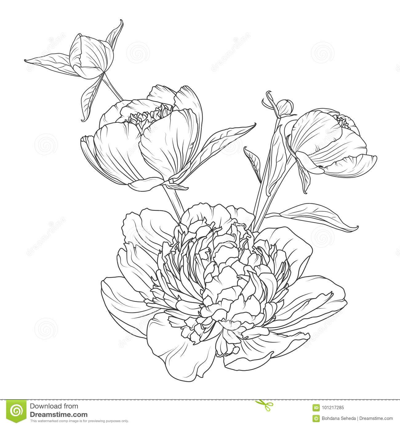 Peony rose flowers bouquet composition detailed realistic outline sketch drawing black line art on white background closeup macro view