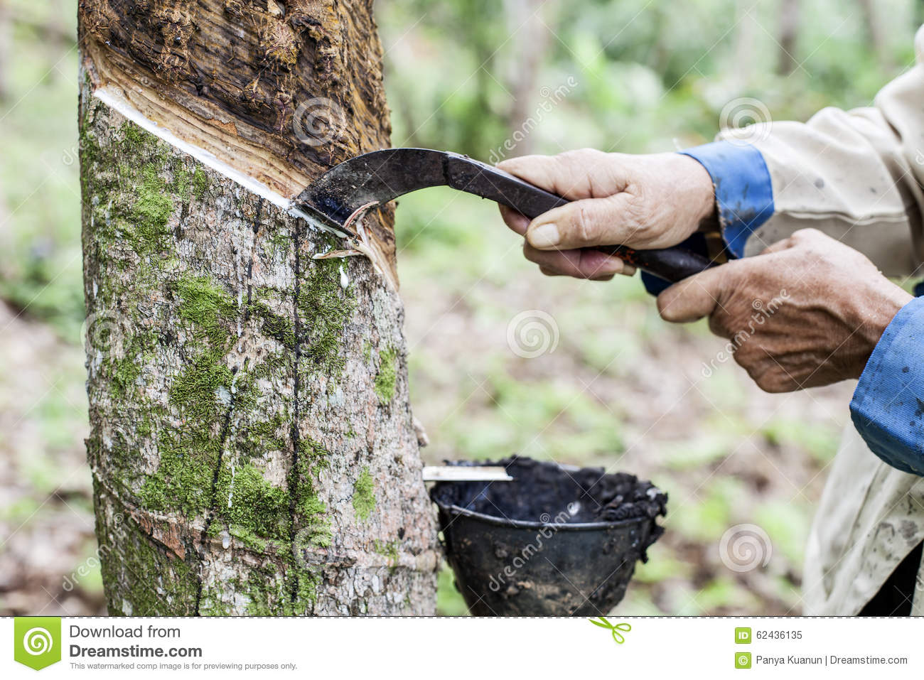people-cutting-tapped-rubber-tree-knife-62436135.jpg