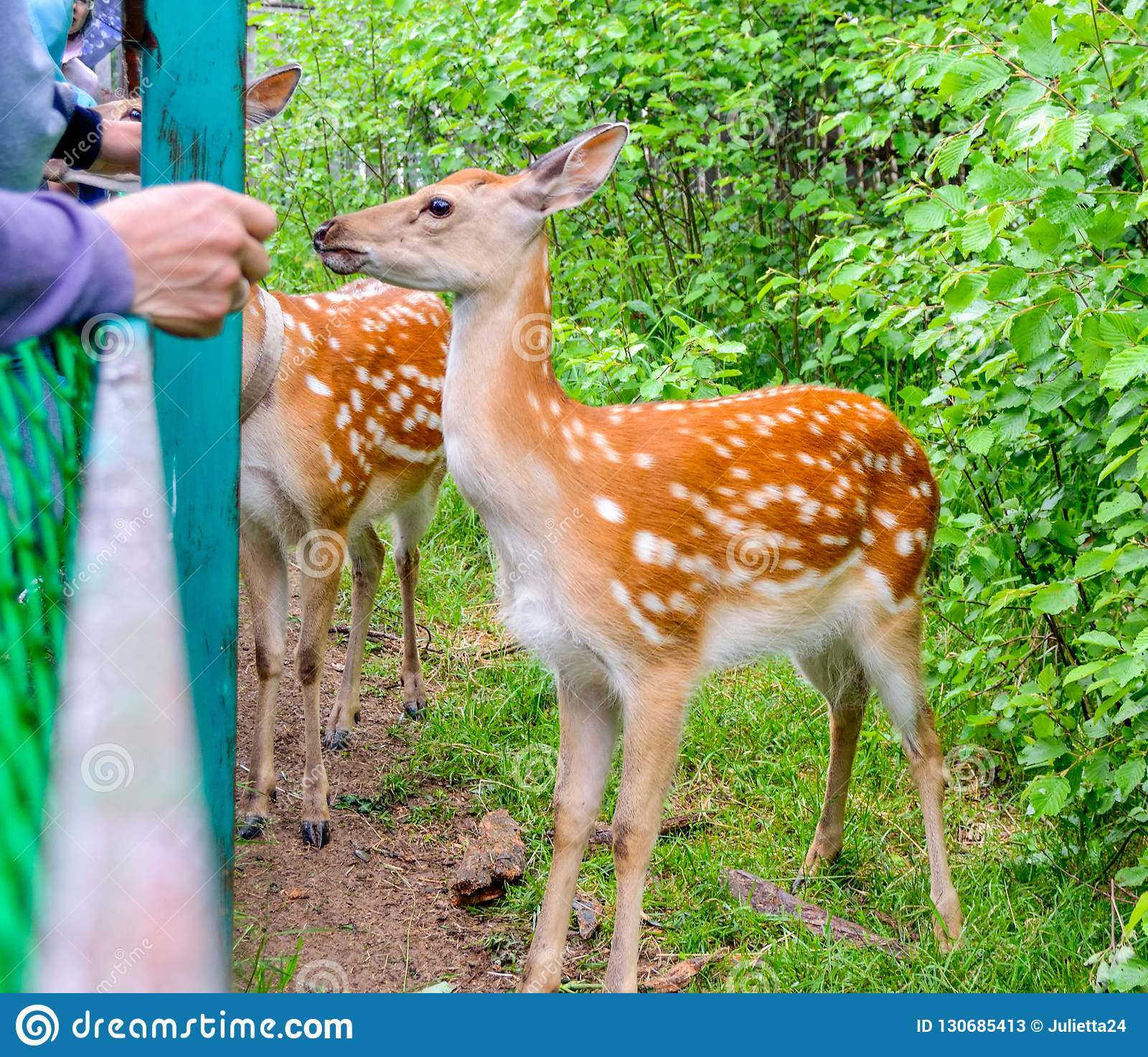 People feed the red deer from the hands
