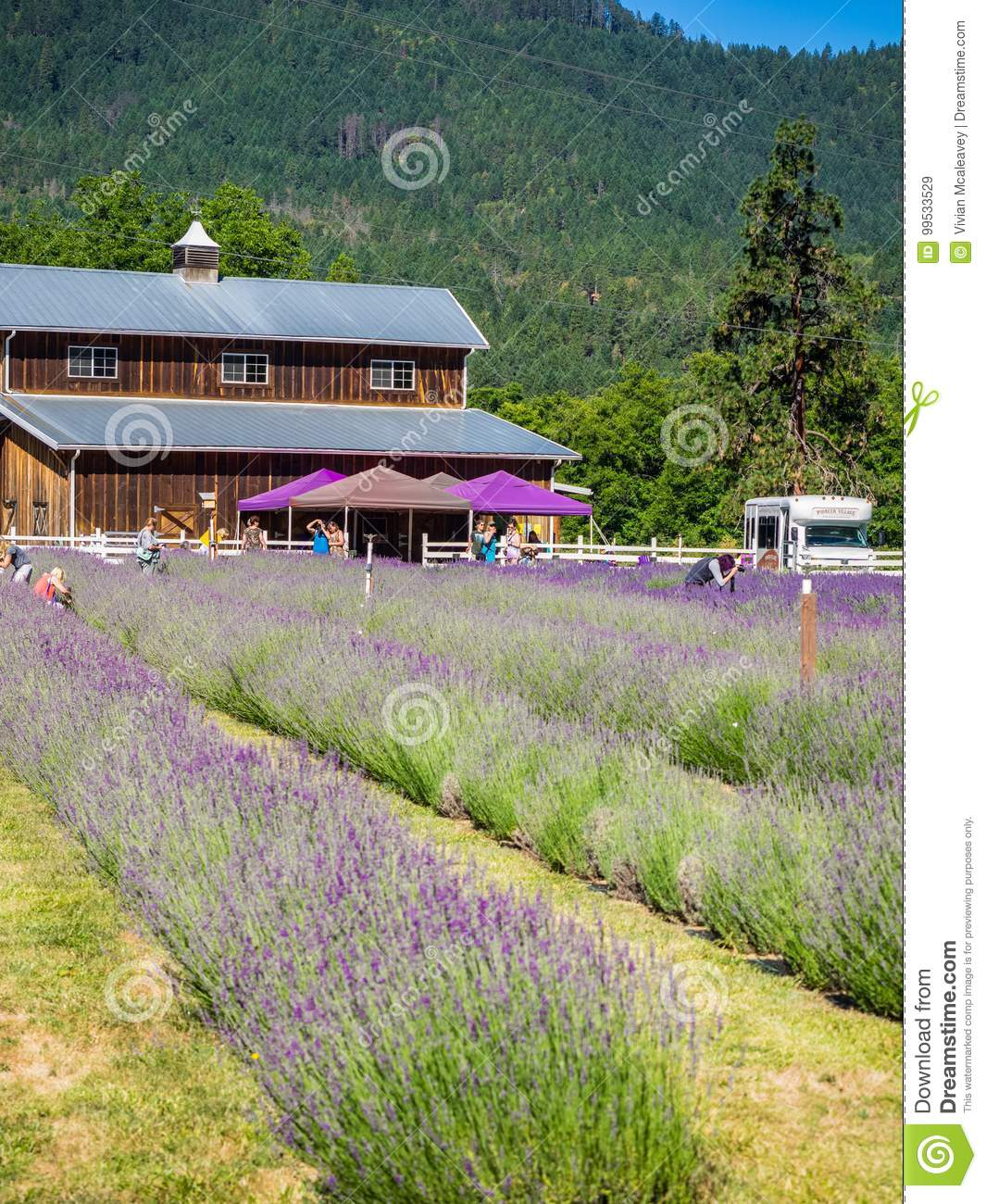 People Picking Lavender At Farm Editorial Stock Image