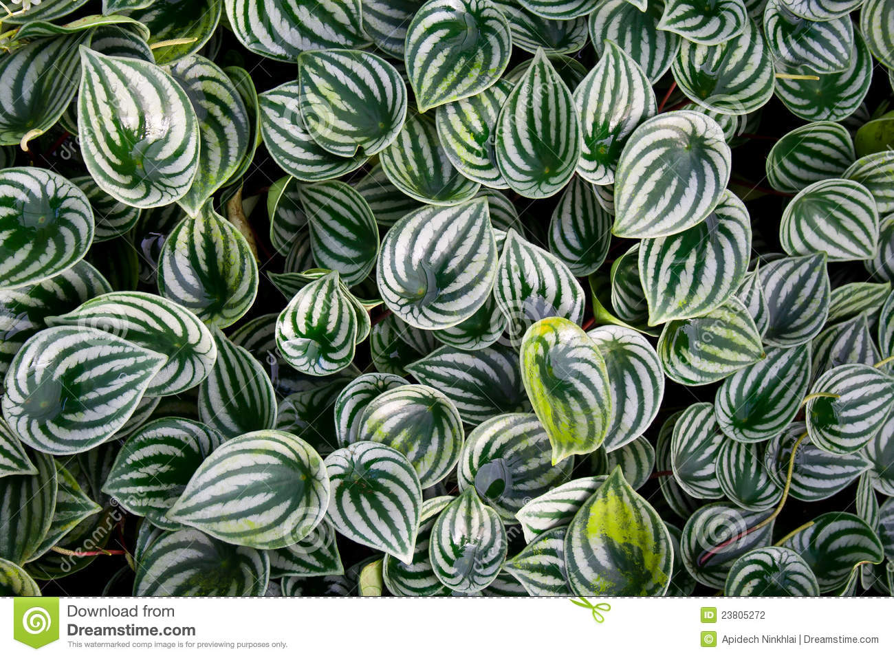 Peperomia Sandersii Watermelon Peperomia Leaves Stock Photography ...