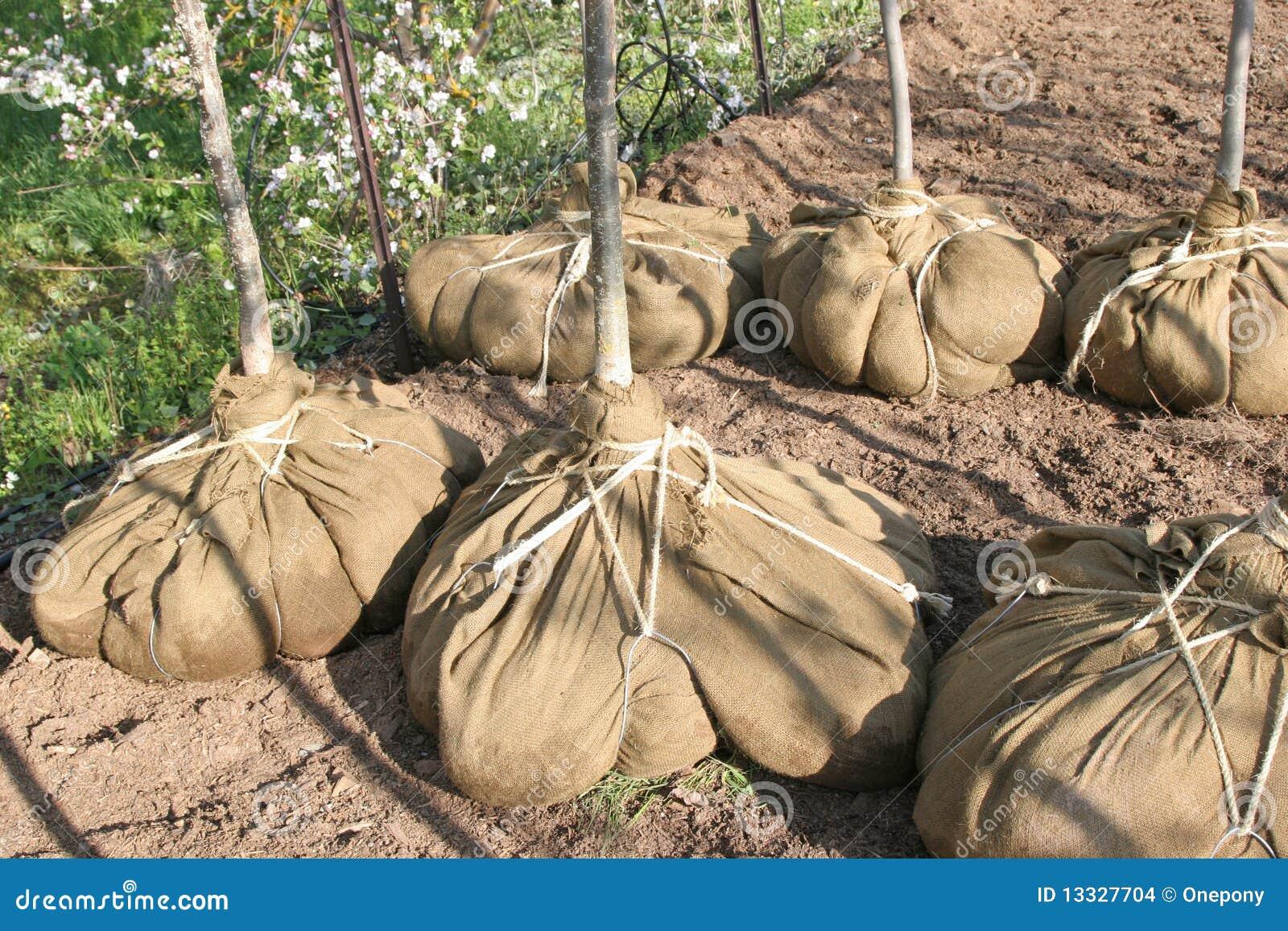 Pepiniery drzewo