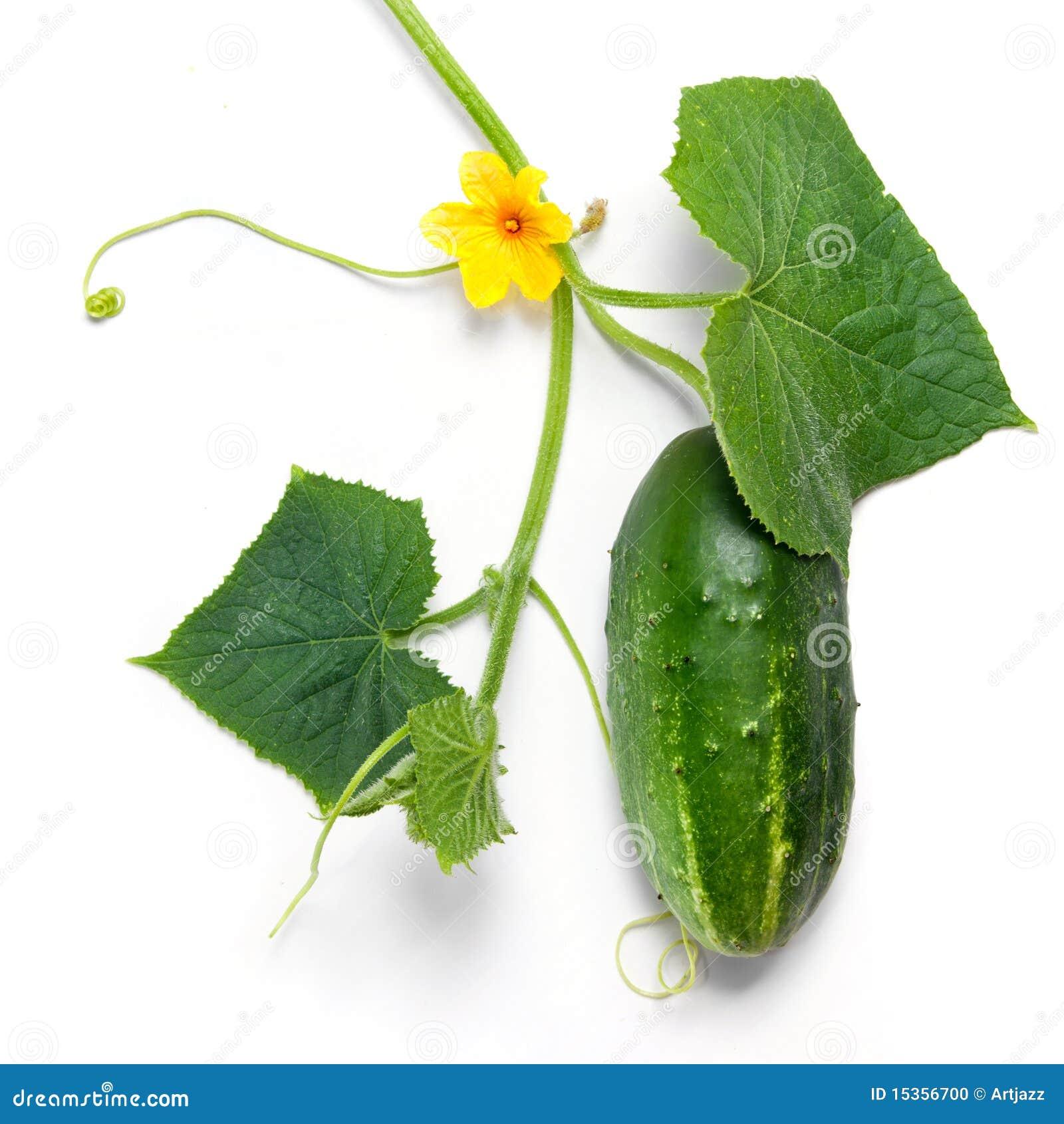 Pepino verde con las hojas y la flor