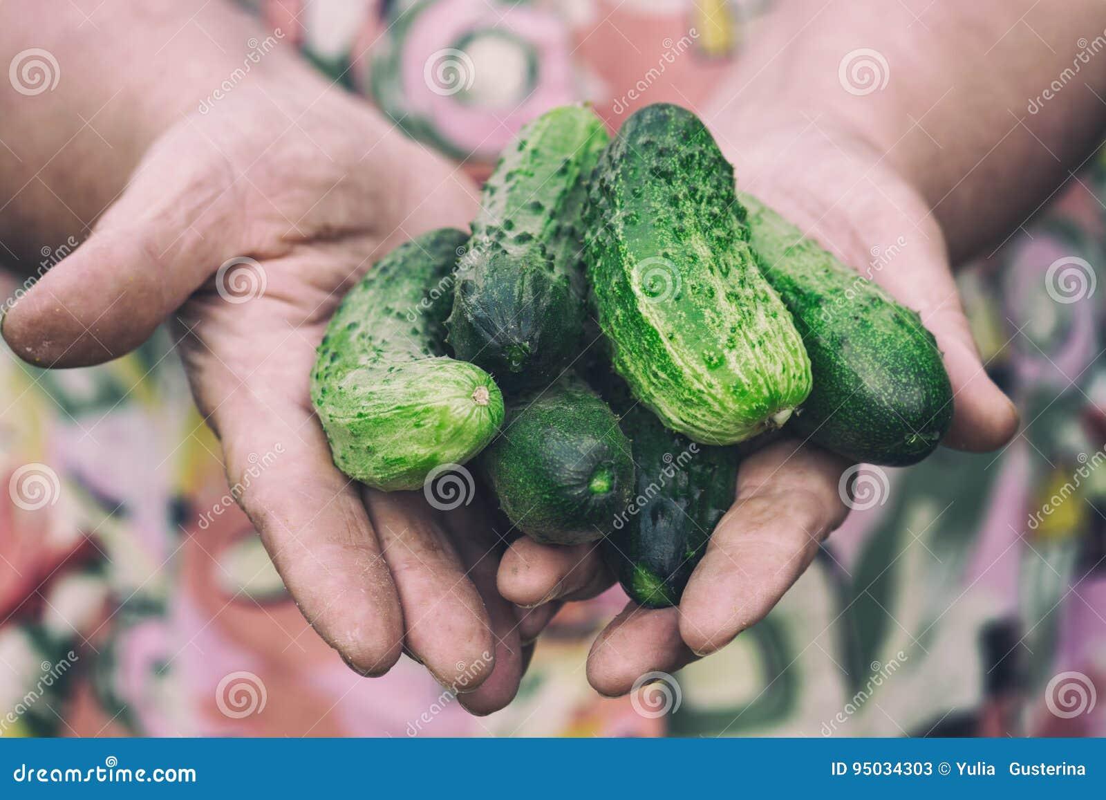 Pepinos frescos en las manos de una mujer mayor Foco suave