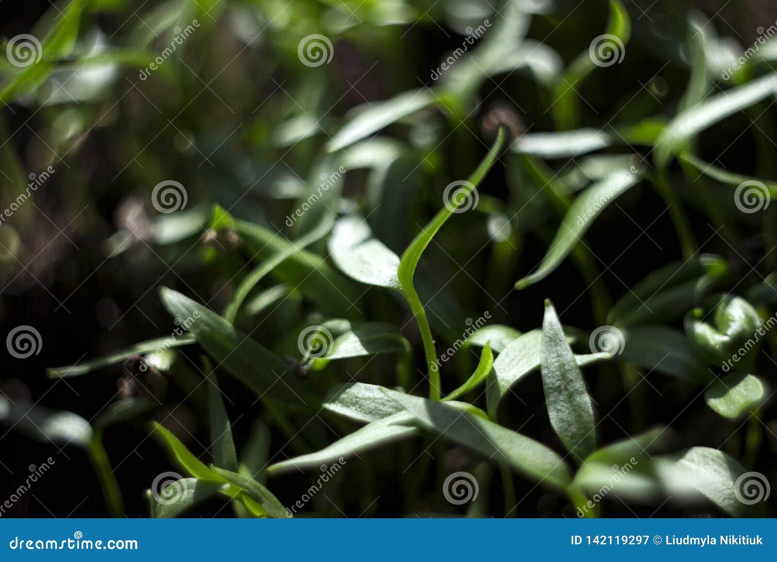 Pepparplantor - ung grön lövverk av bulgarisk peppar Vårväxtplantor, bakgrund