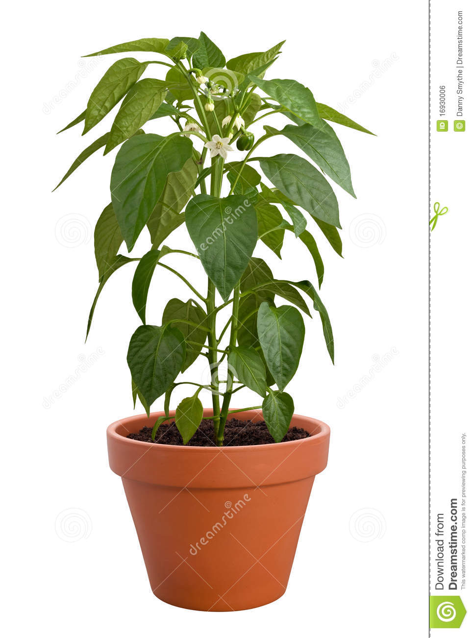 White wooden table background - Pepper Plant In A Pot Isolated On A White Background Isolation Is On A