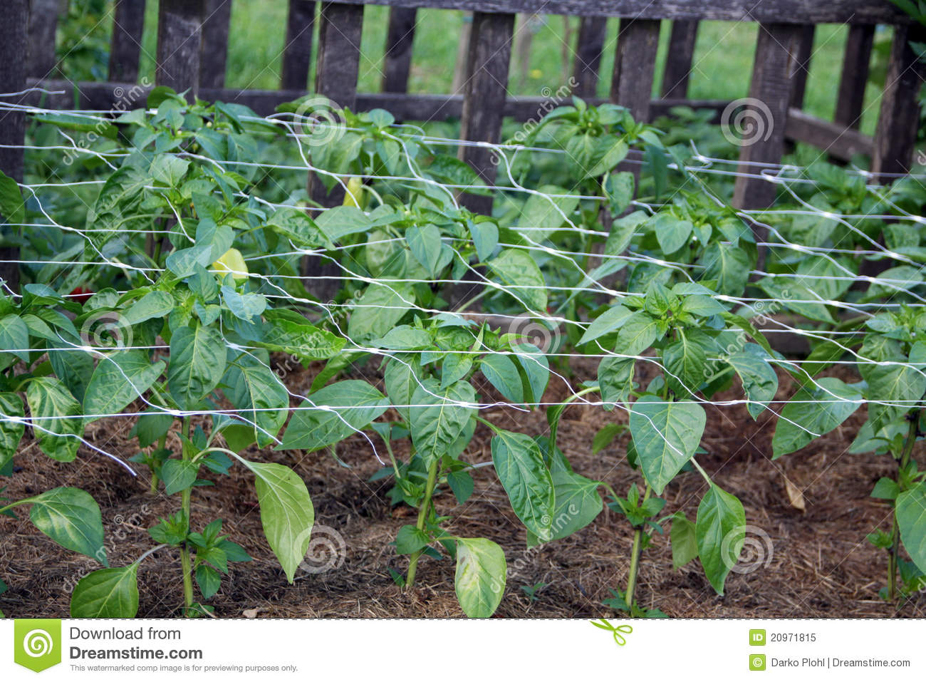 Pepper plants after planting on the garden bed royalty free stock photo image 20971815 - Planting pepper garden ...