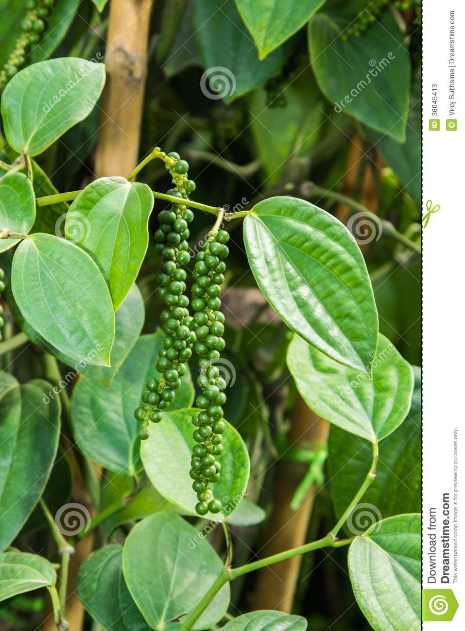 Pepper tree stock image. Image of natural, farm, flavoring ...