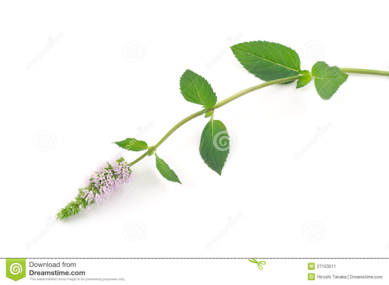 Peppermint flower stock image. Image of food, grass ...