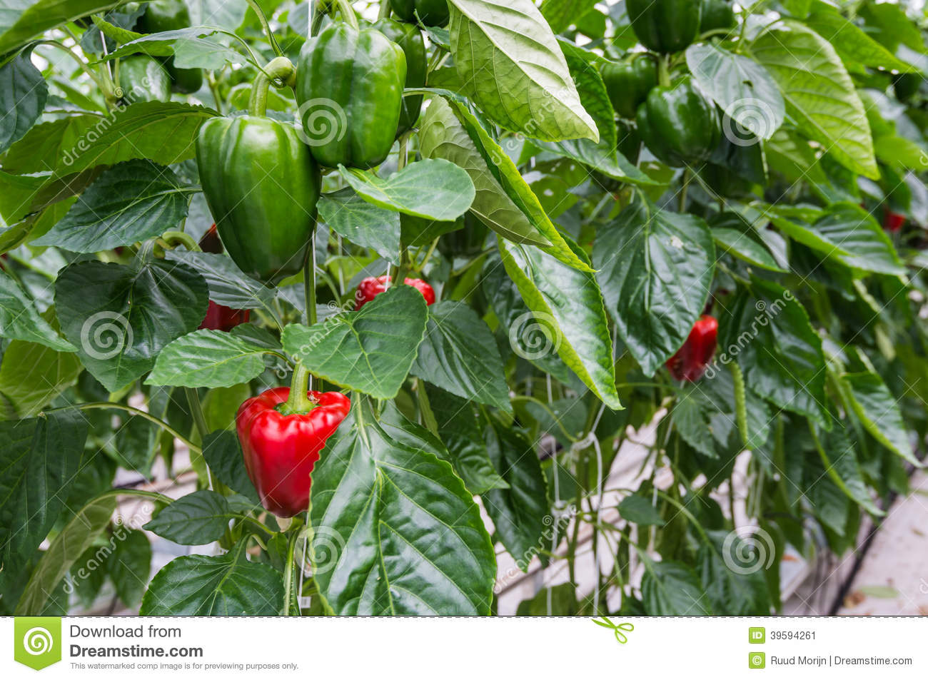 peppers growing in a greenhouse stock photo image 39594261 golf course clipart free golf course clipart free