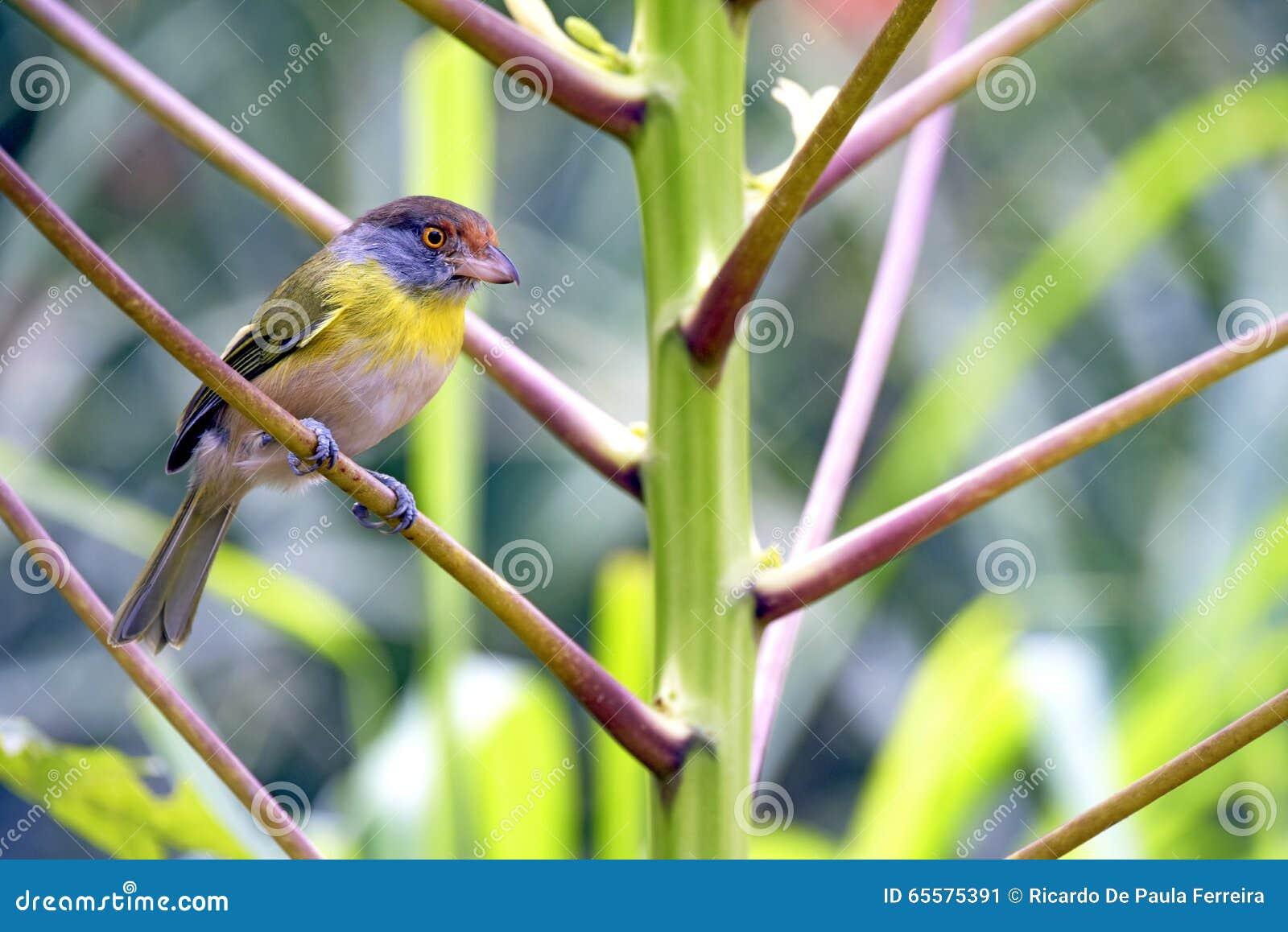 Peppershrike Rufous-sobrancelhudo, pássaro comum na América Latina