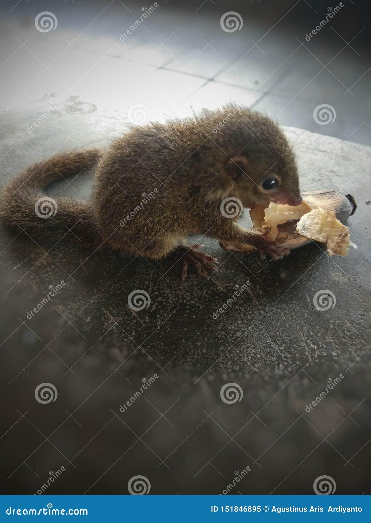 Pequeña ardilla doméstica en la mano