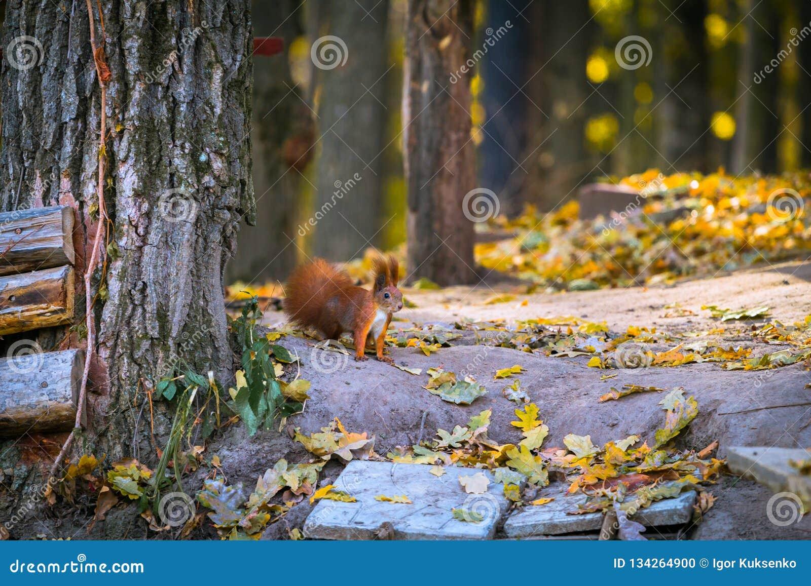 Pequeña ardilla roja en el otoño del bosque