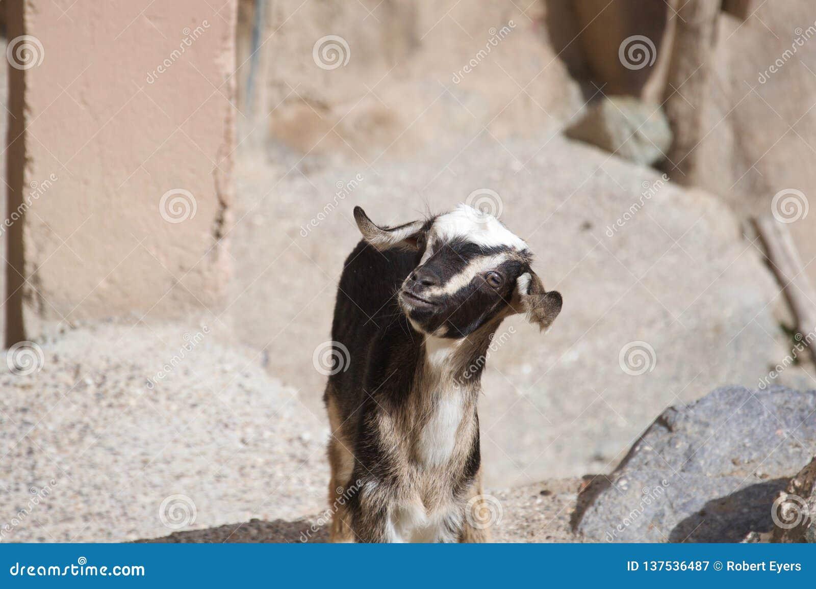 """Pequeña cabra dulce del bebé con versión 2 del †gallardo de los oídos la """""""