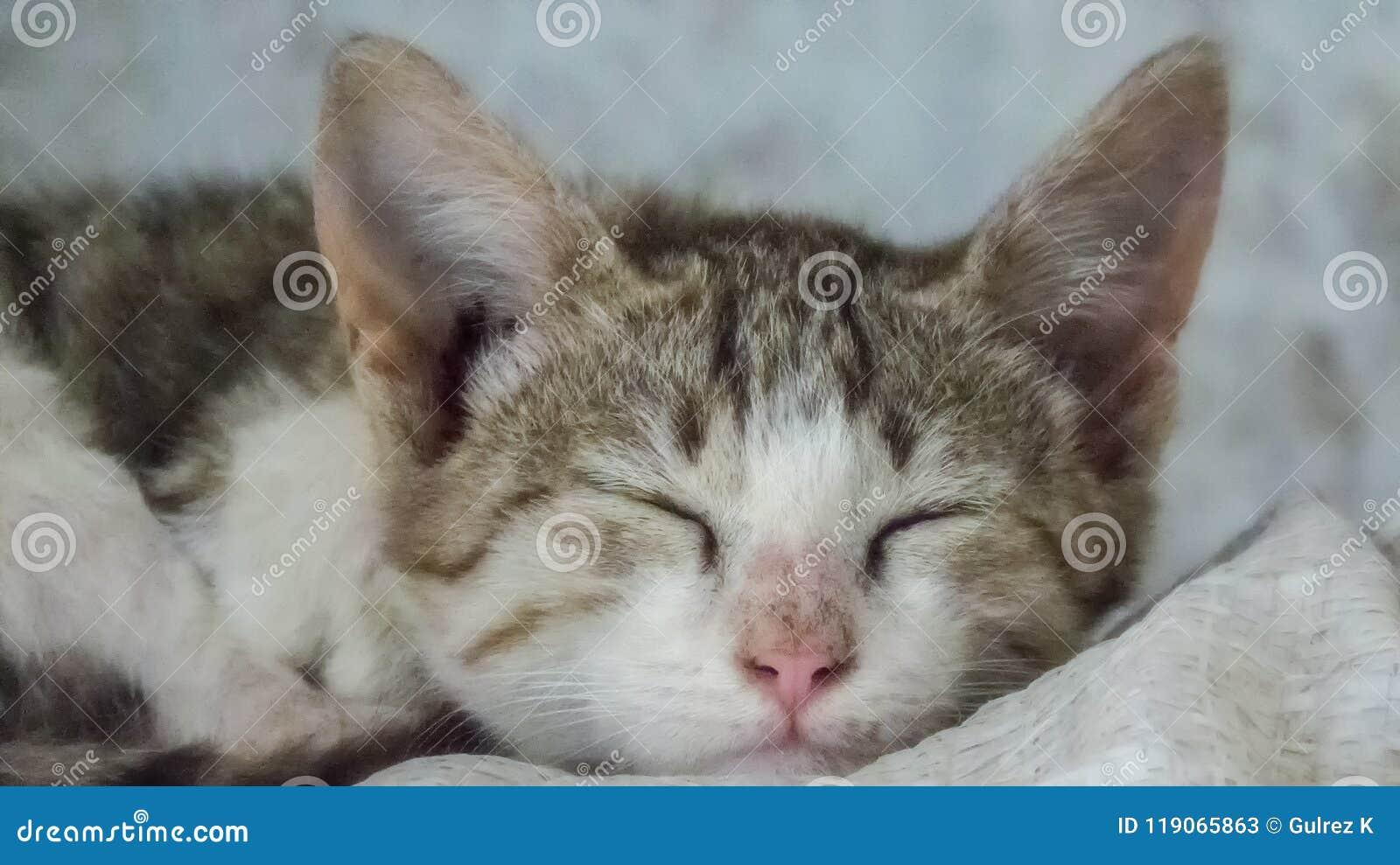 Pequeña Cat Kitten Sleeping linda