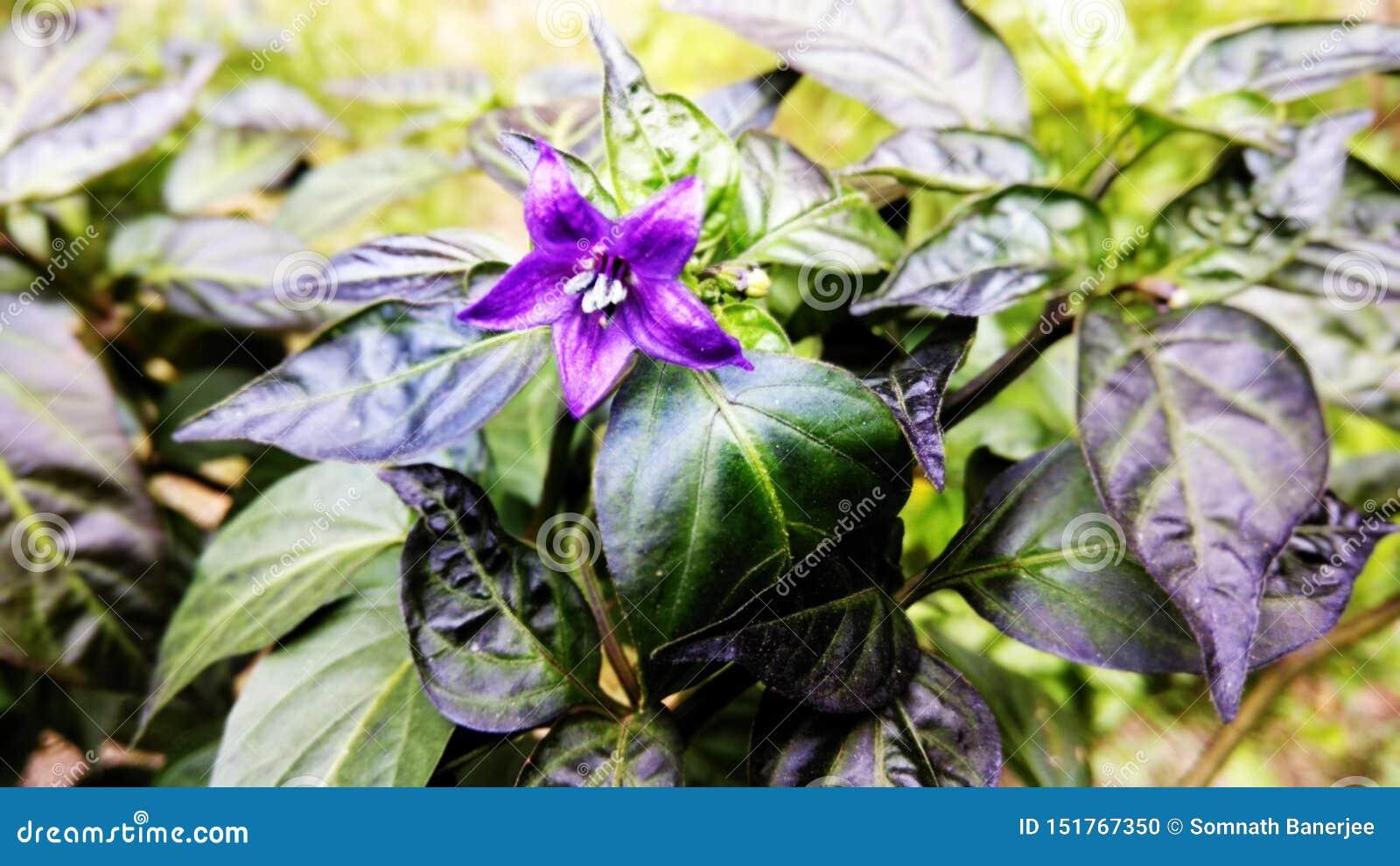 Pequeña flor púrpura de los chiles