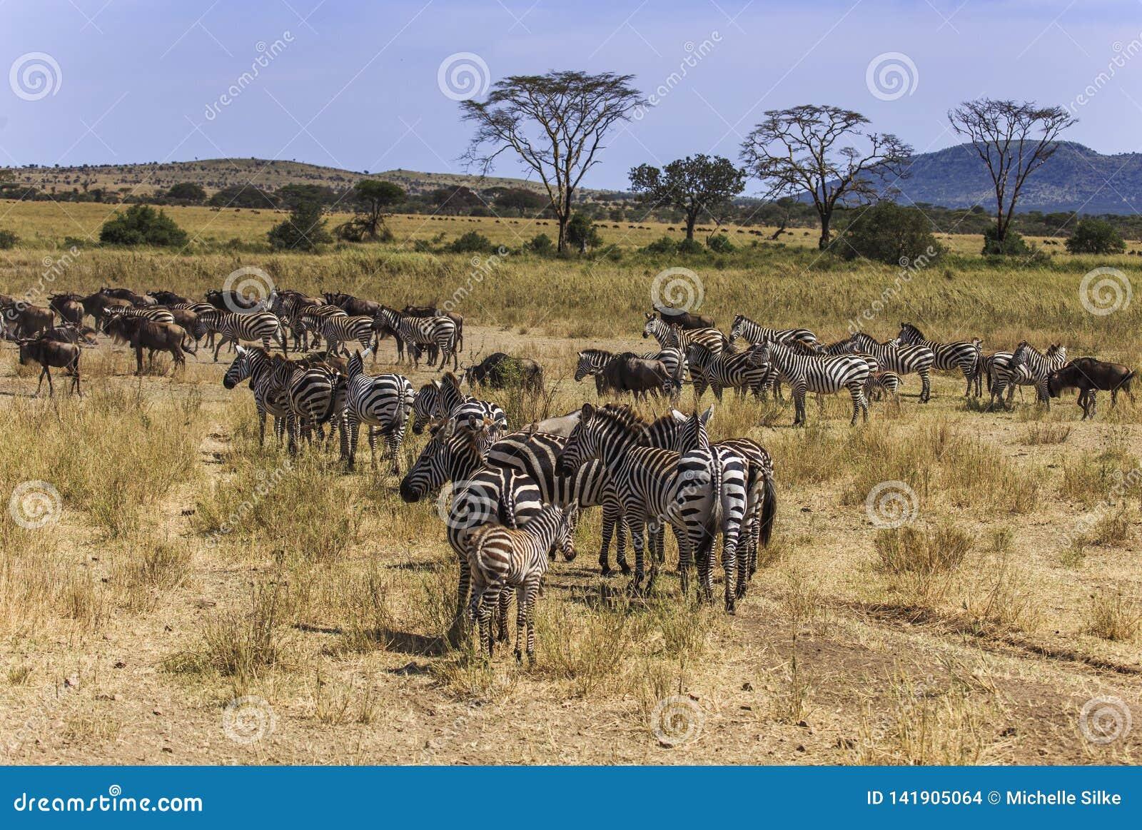 Pequeña manada de la migración de cebras