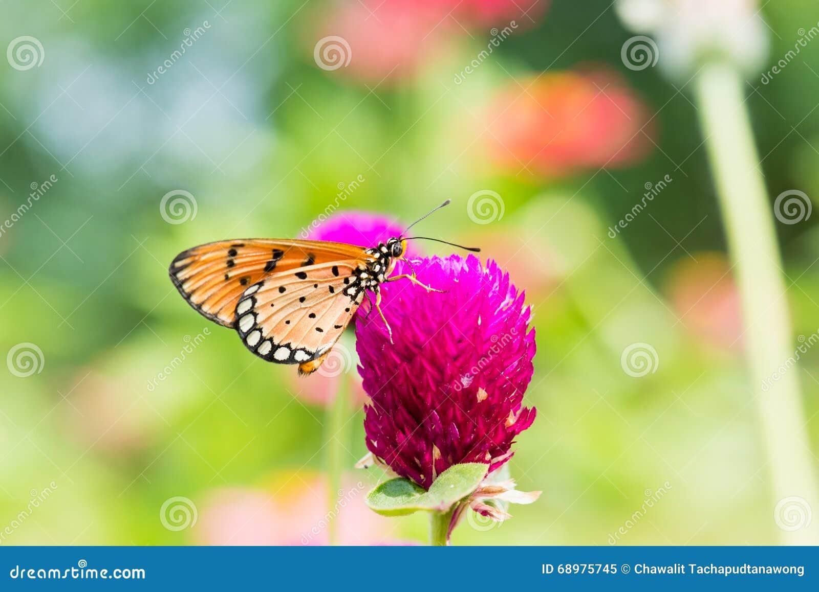Pequeña mariposa anaranjada en la flor púrpura