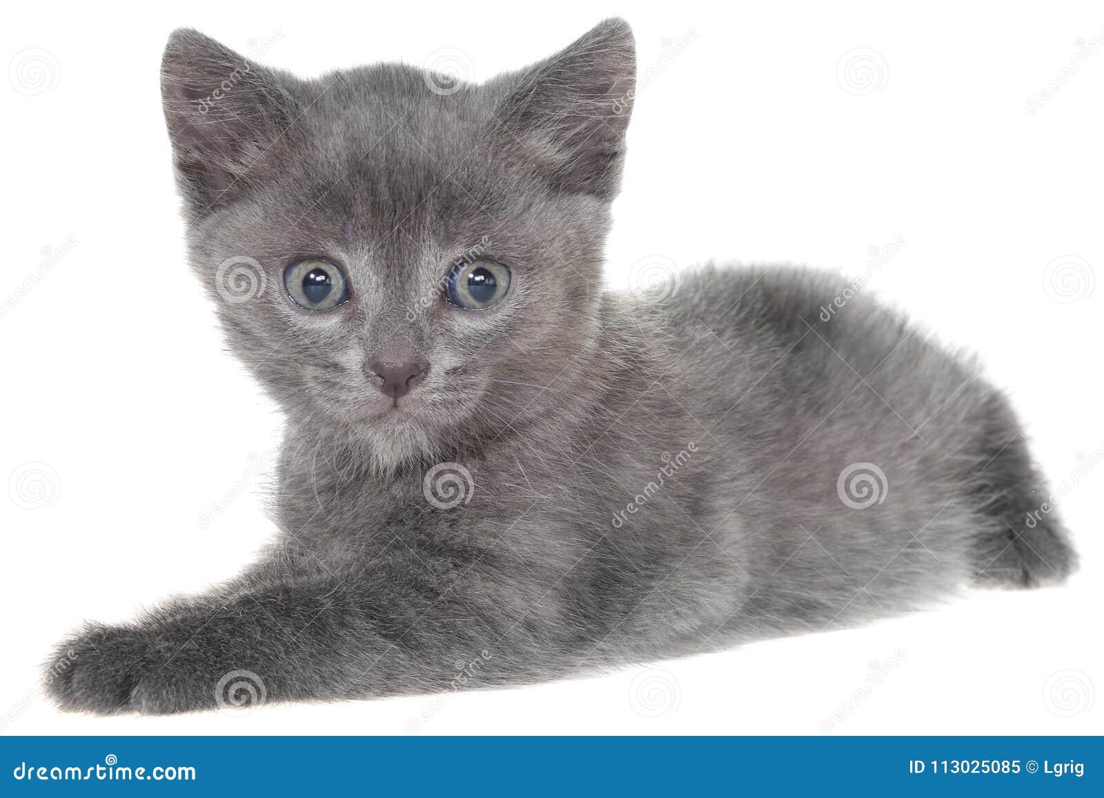 Pequeña mentira gris del gatito del shorthair aislada