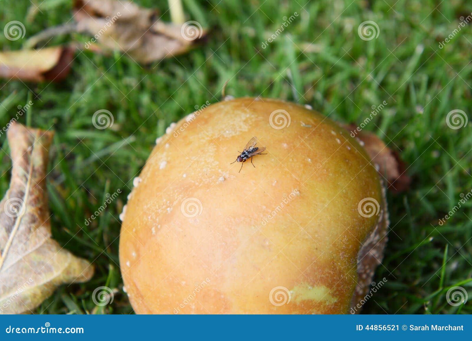 Pequeña mosca en una manzana putrefacta de la ganancia inesperada