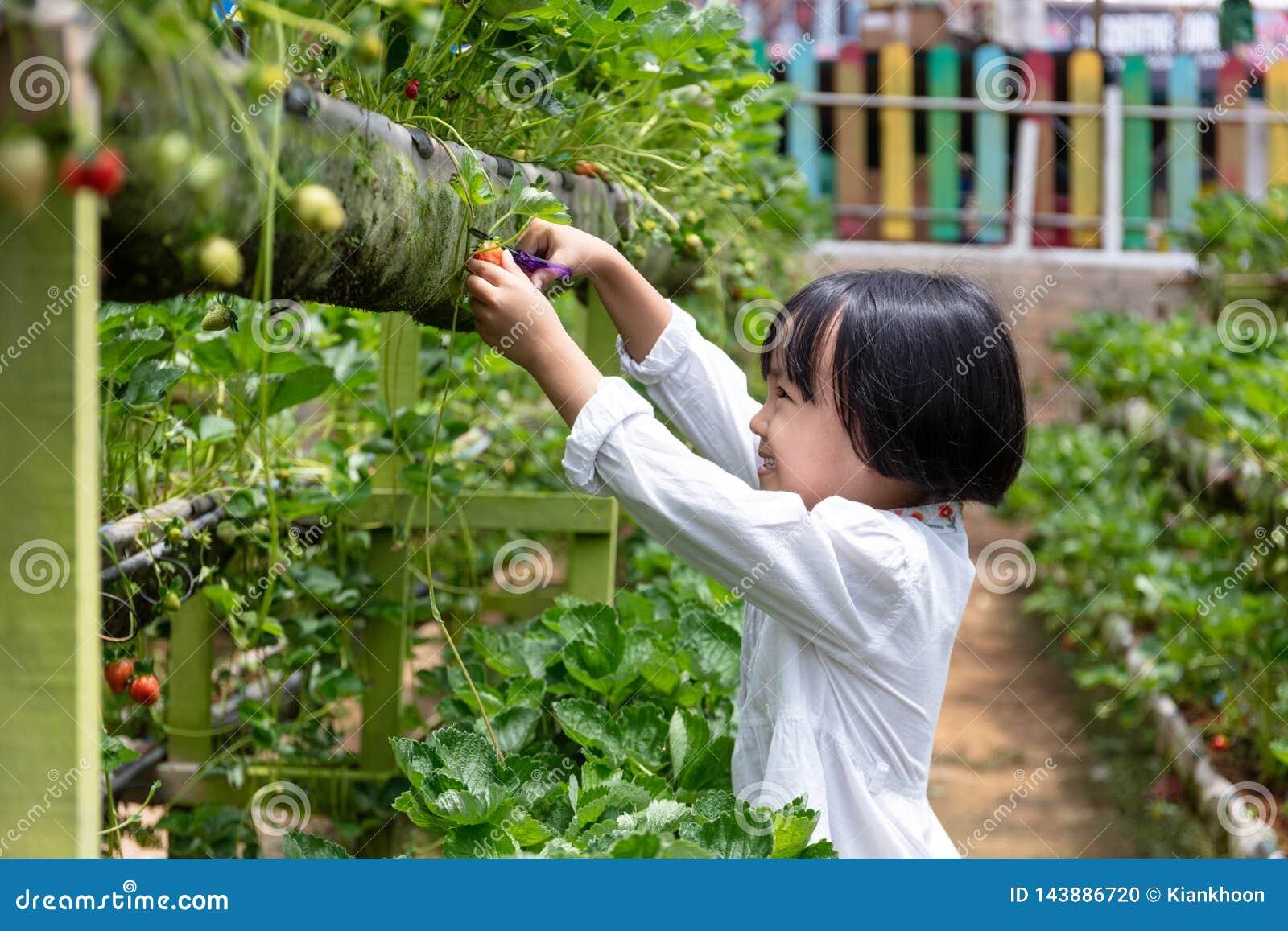 Pequeña muchacha china asiática que escoge la fresa fresca