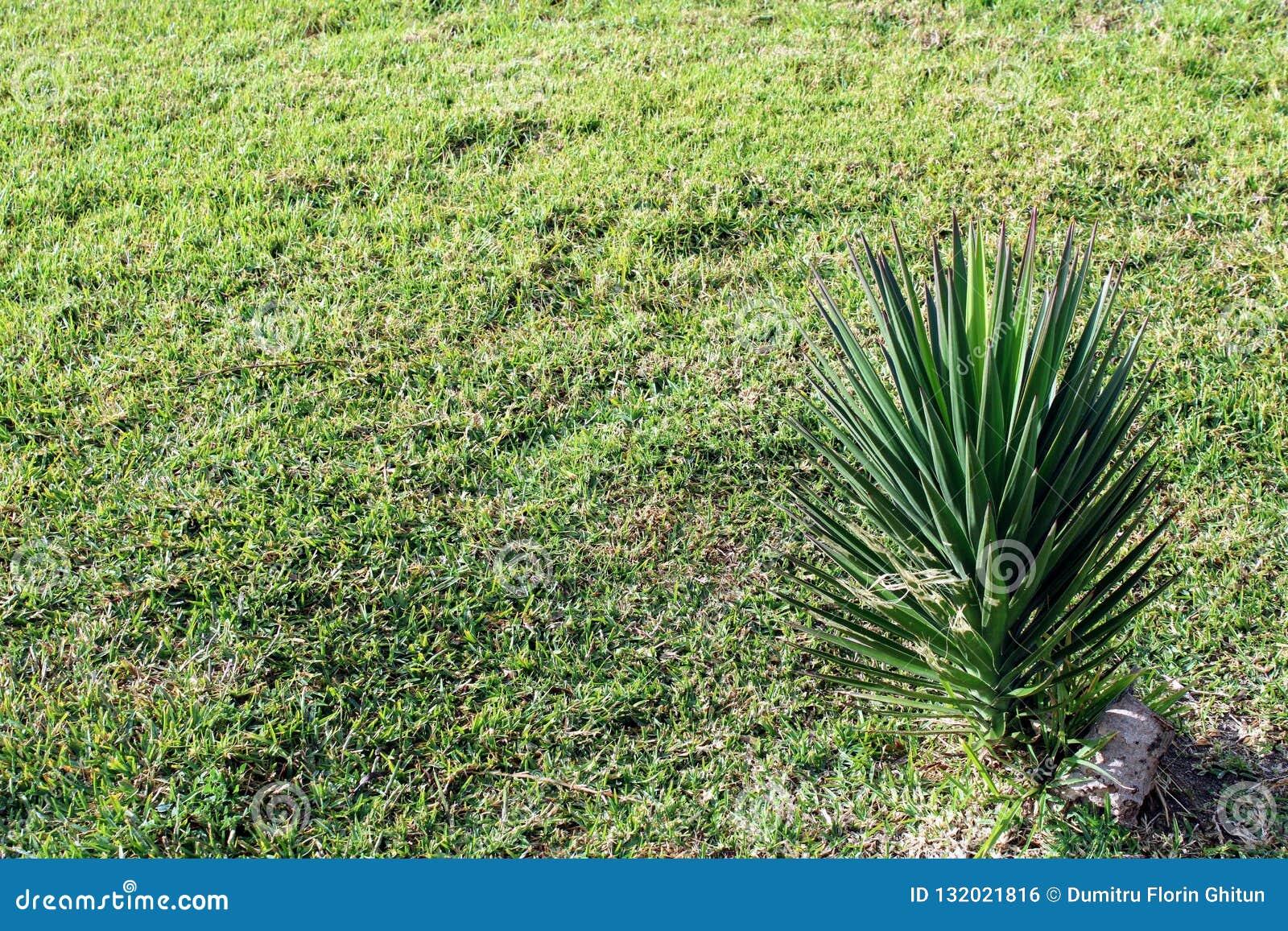 Pequeña palma del extremo natural de la hierba