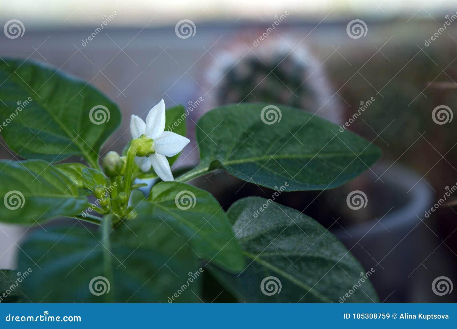 Pequeña planta de la pimienta de chile en travesaño de la ventana