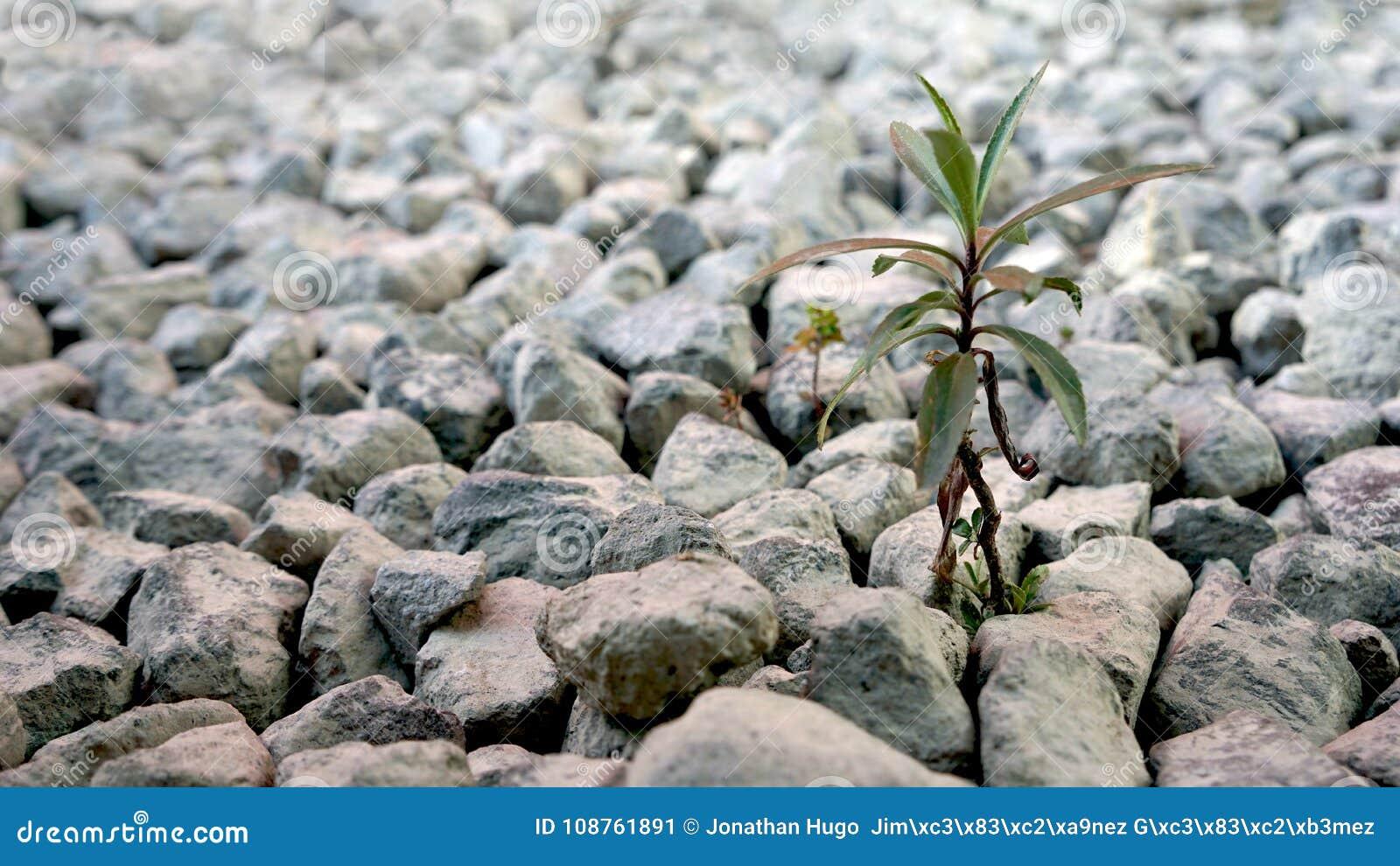 Pequeña planta que crece en las piedras