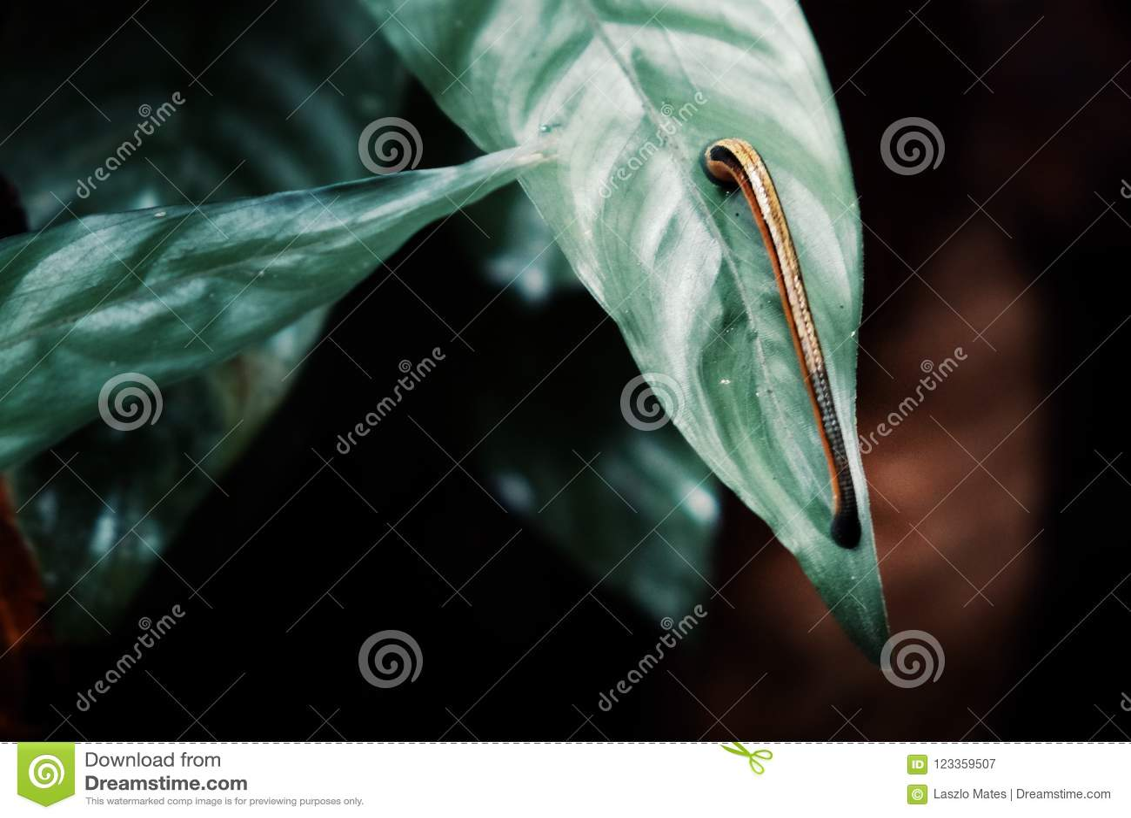 Pequeña sanguijuela que busca a una víctima entre las plantas tropicales enormes de la selva tropical