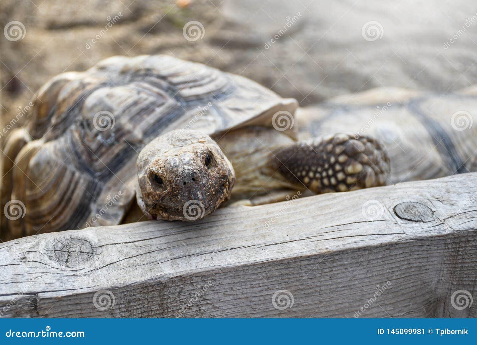 Pequeña tortuga de la tierra dentro de la cerca de madera en el patio trasero