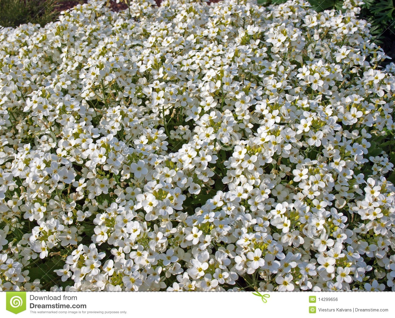 Pequeñas Flores Blancas Foto De Archivo. Imagen De Flores