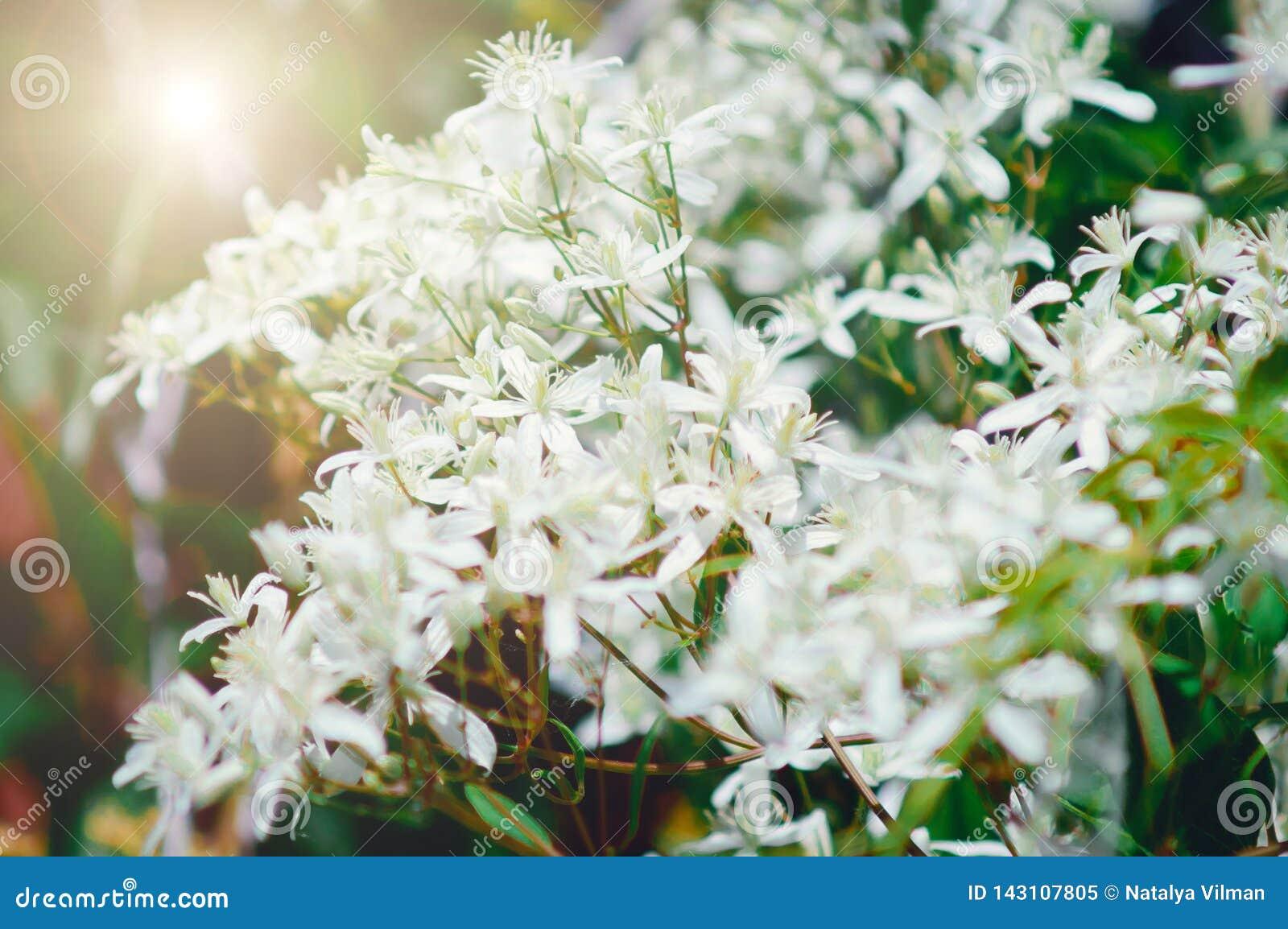Pequeñas flores blancas, luz del sol Contexto hermoso del verano