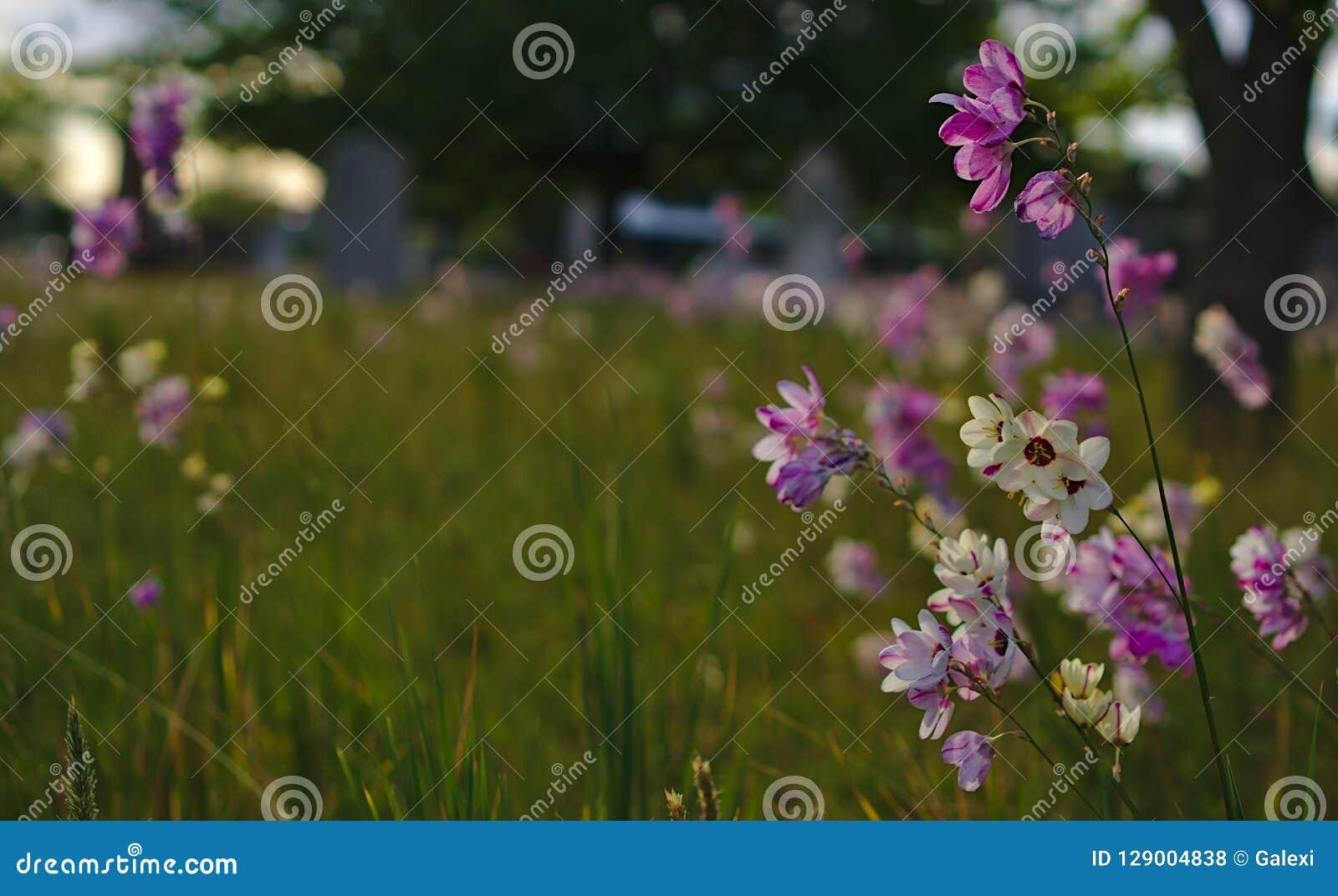 Pequeñas flores coloridas blancas púrpuras salvajes salvajes en el cementerio