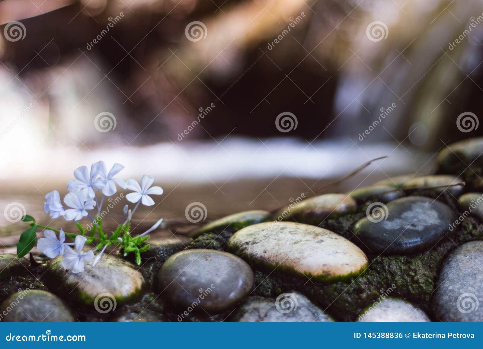 Peque?as flores de la lila ligera en piedras blancos y negros en el fondo de la cascada Cierre para arriba Piedras mojadas cerca