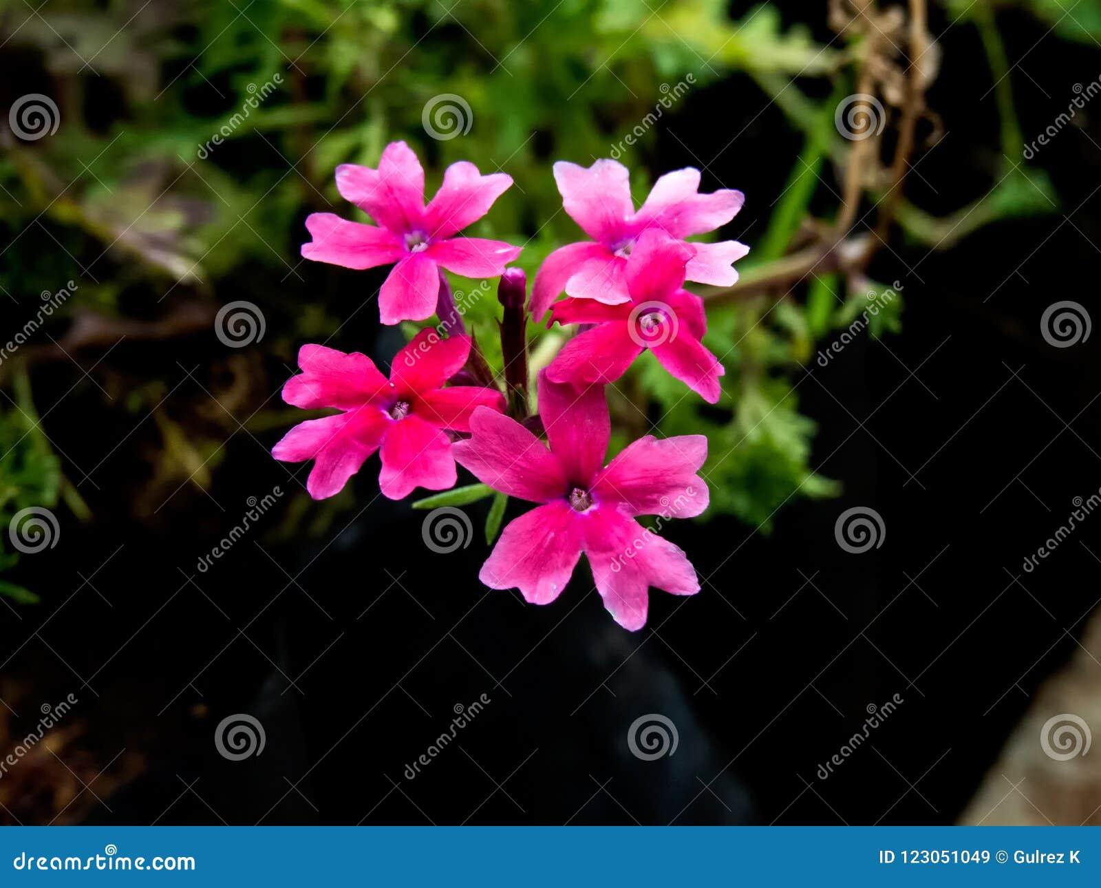 Pequeñas flores de Rose Verbena India rosada