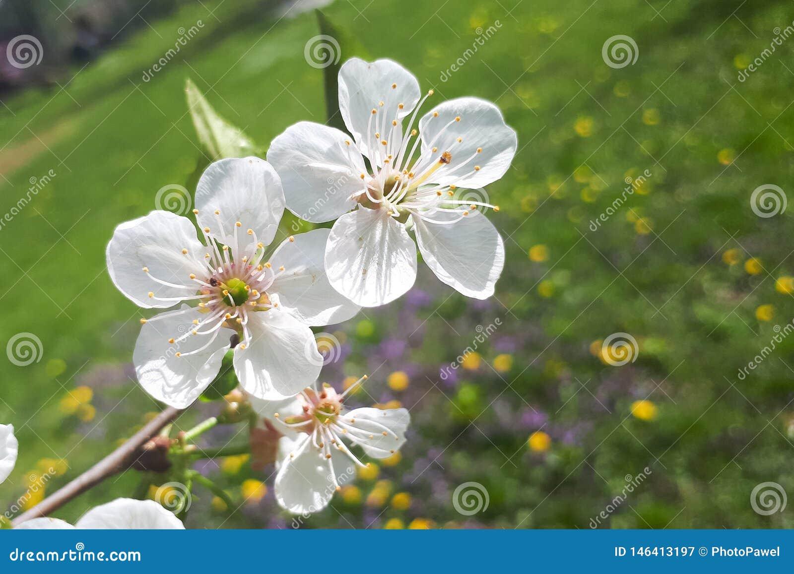 Pequeñas flores hermosas frescas blancas en la rama de un cerezo