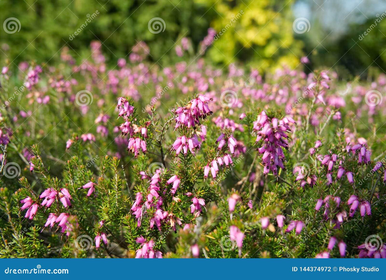Pequeñas flores rosadas en un arbusto conífero