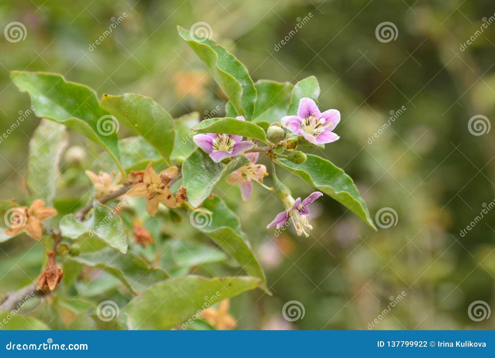 Pequeñas flores rosas claras en una rama de un arbusto en un fondo verde borroso en primavera