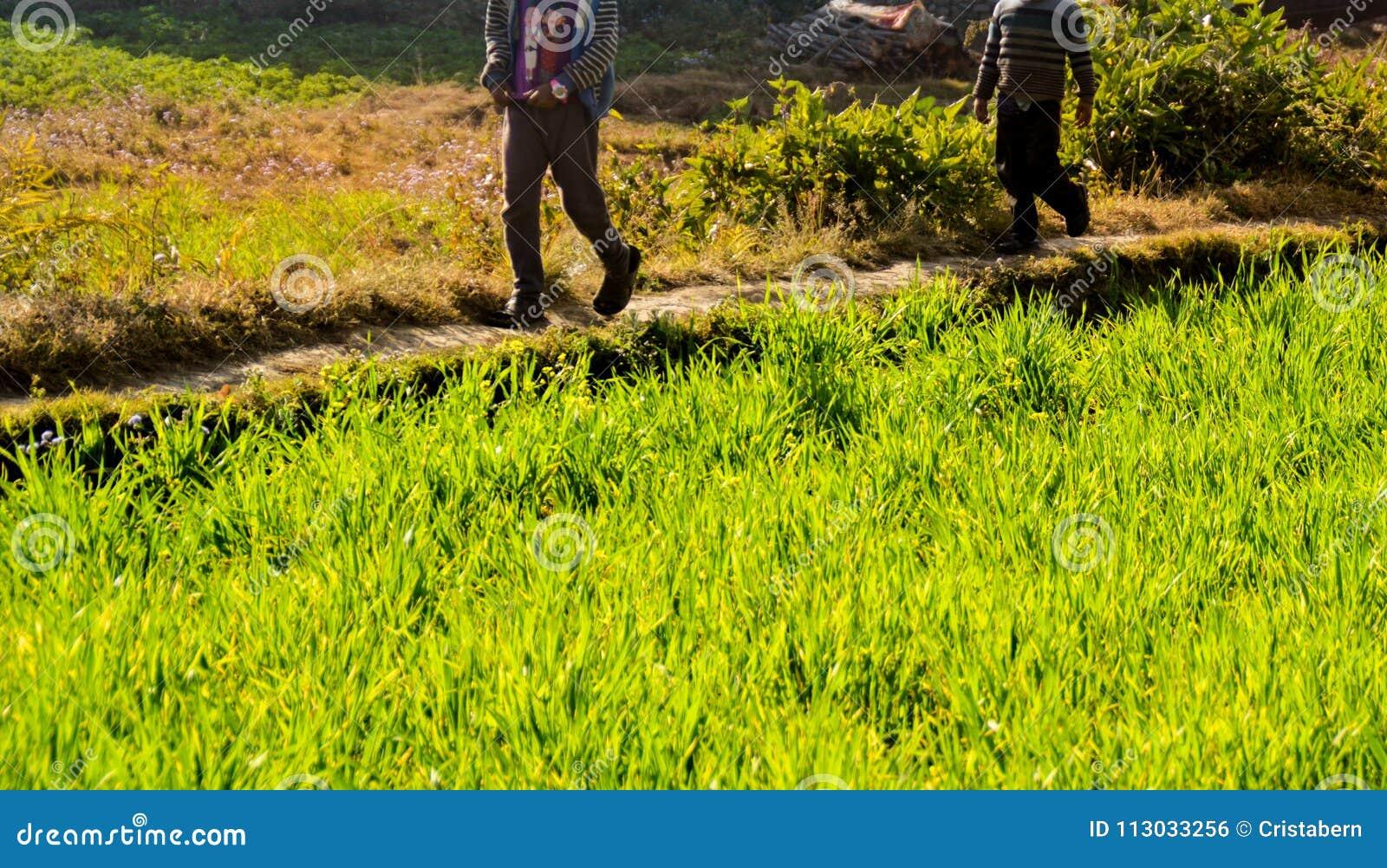 Pequeñas trayectorias de los campos del arroz