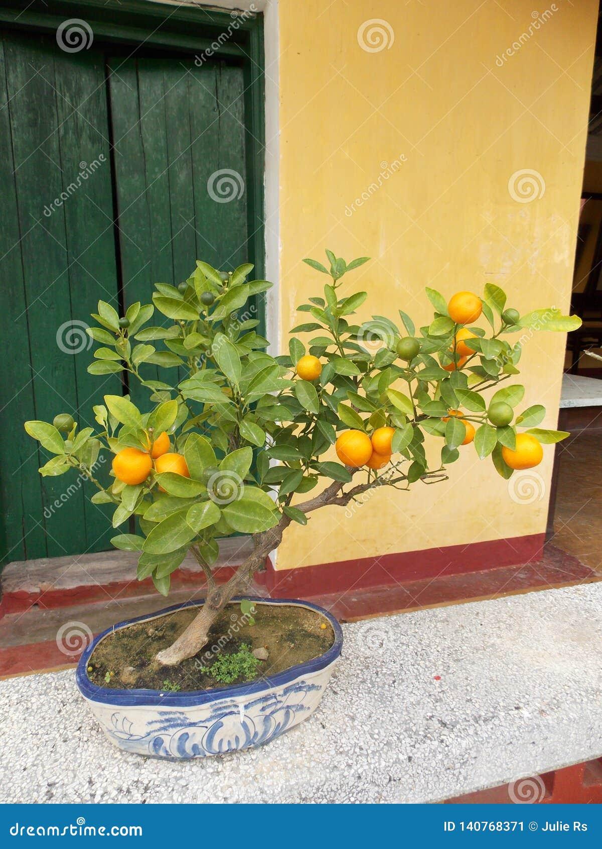 Pequeño árbol de mandarín
