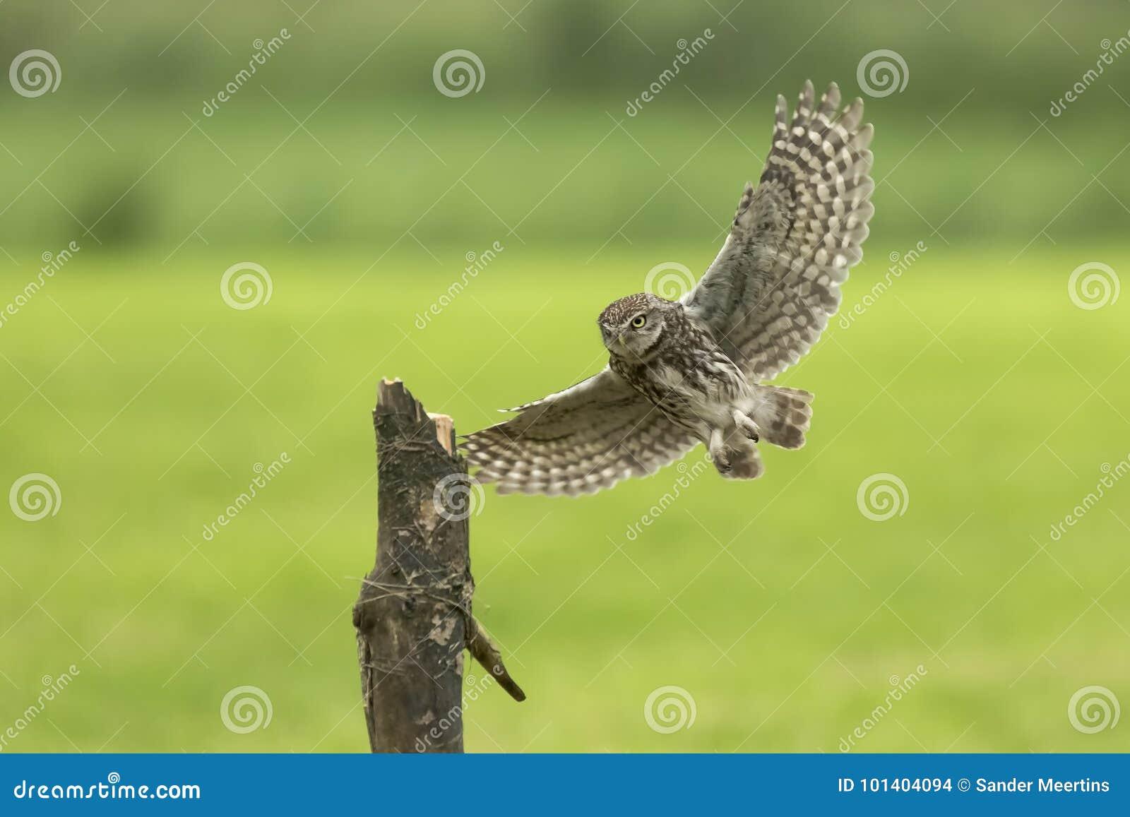 Pequeño búho, noctua del Athene, ave rapaz en vuelo