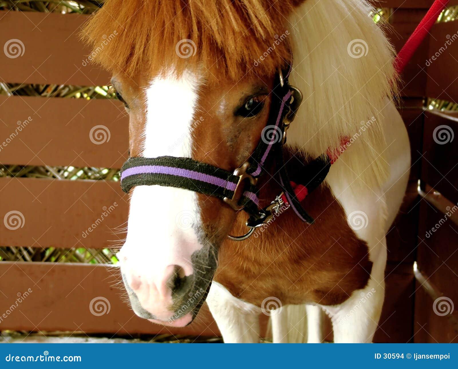 Download Pequeño caballo foto de archivo. Imagen de tirón, caballo - 30594