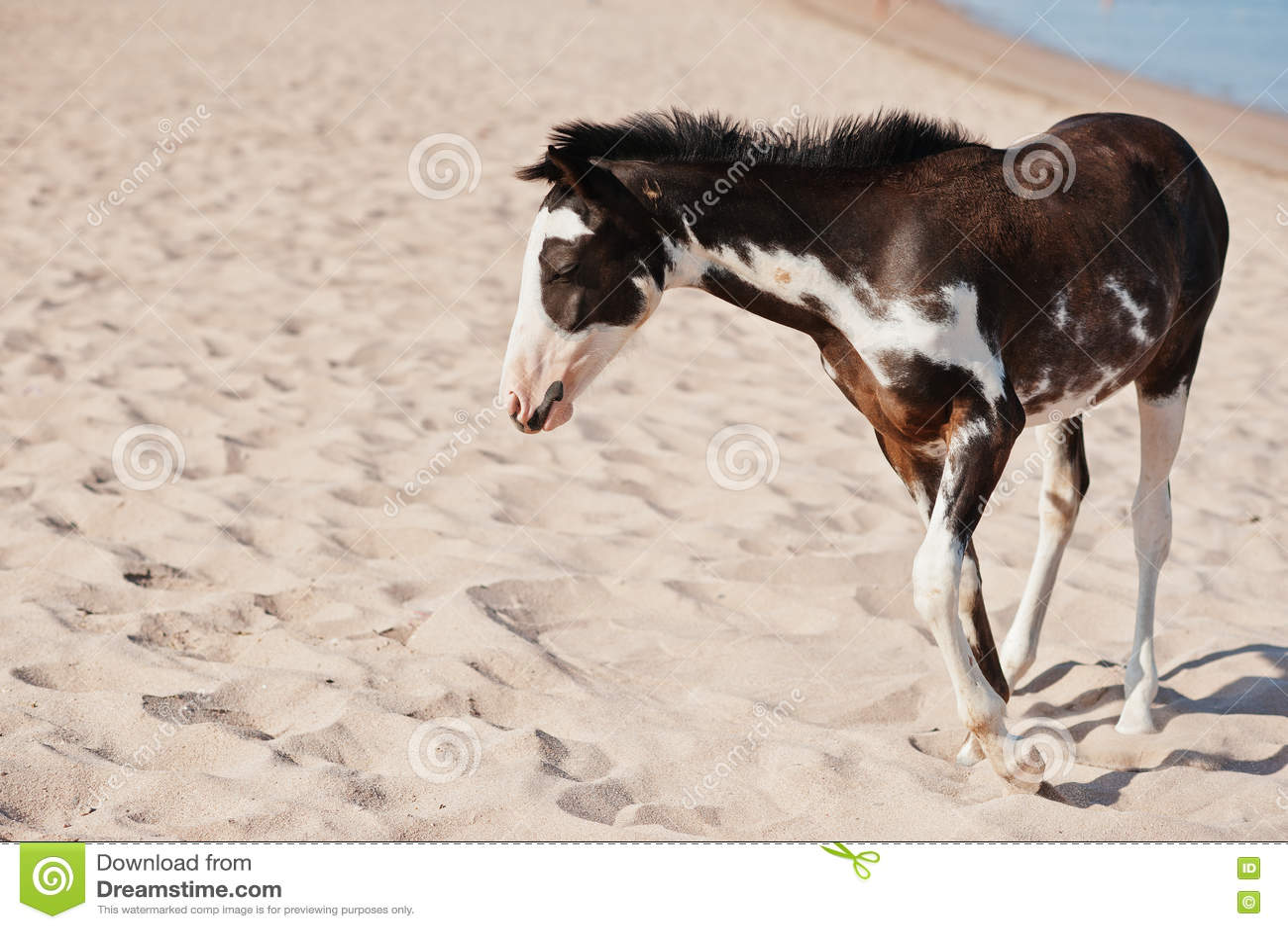 Pequeño Caballo En La Playa Que Camina En La Arena Foto de archivo