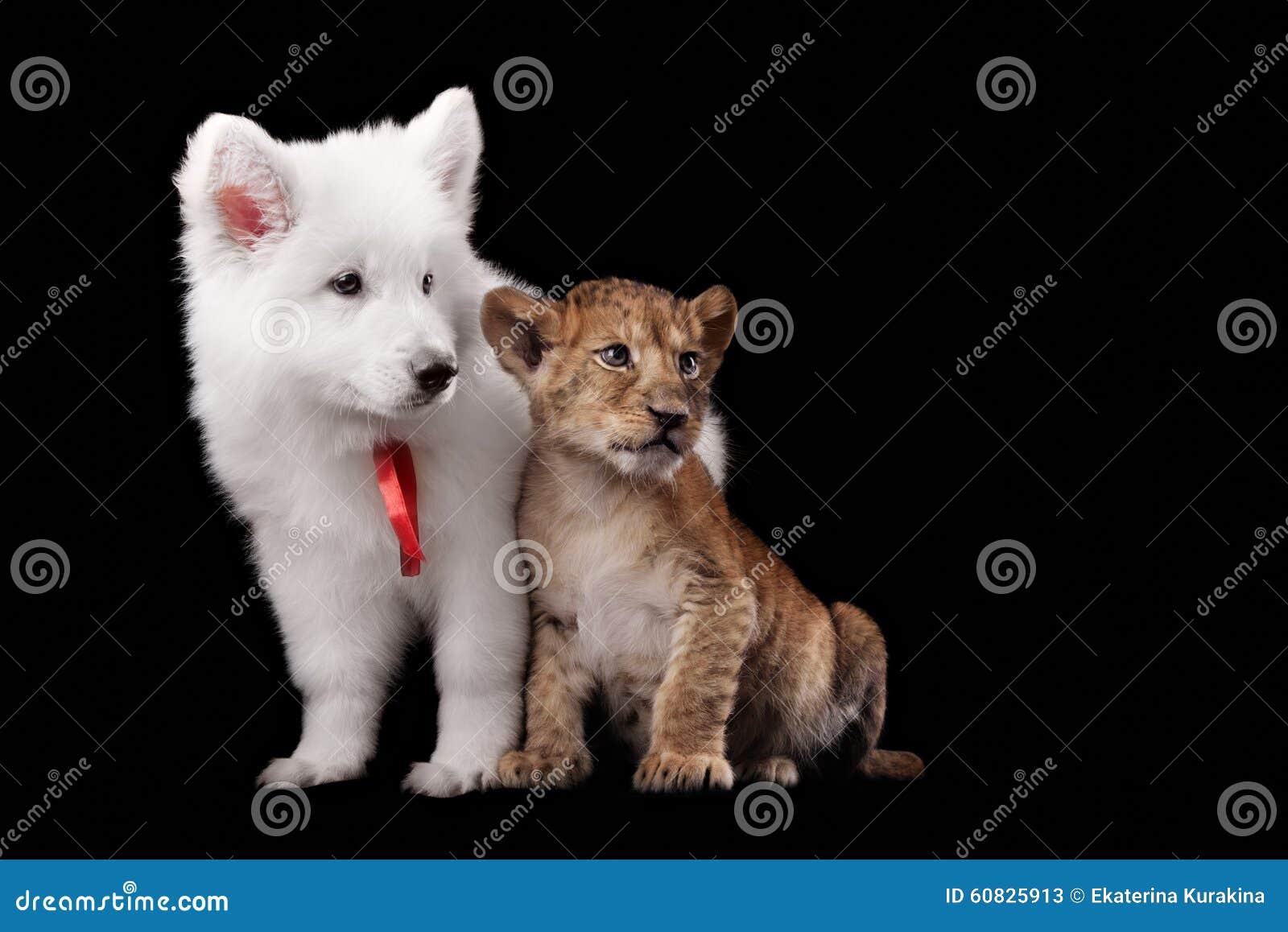 Pequeño cachorro de león y pastor suizo blanco del perrito